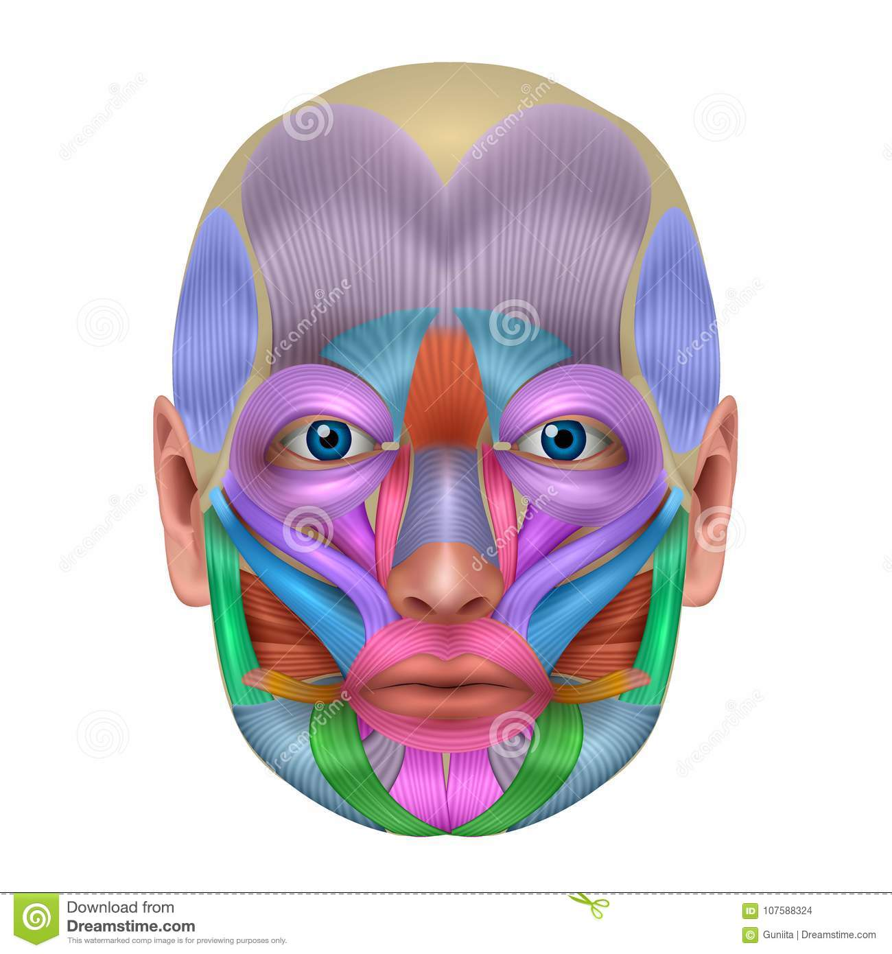 Facial Muscles Stock Vector Illustration Of Anatomy 107588324