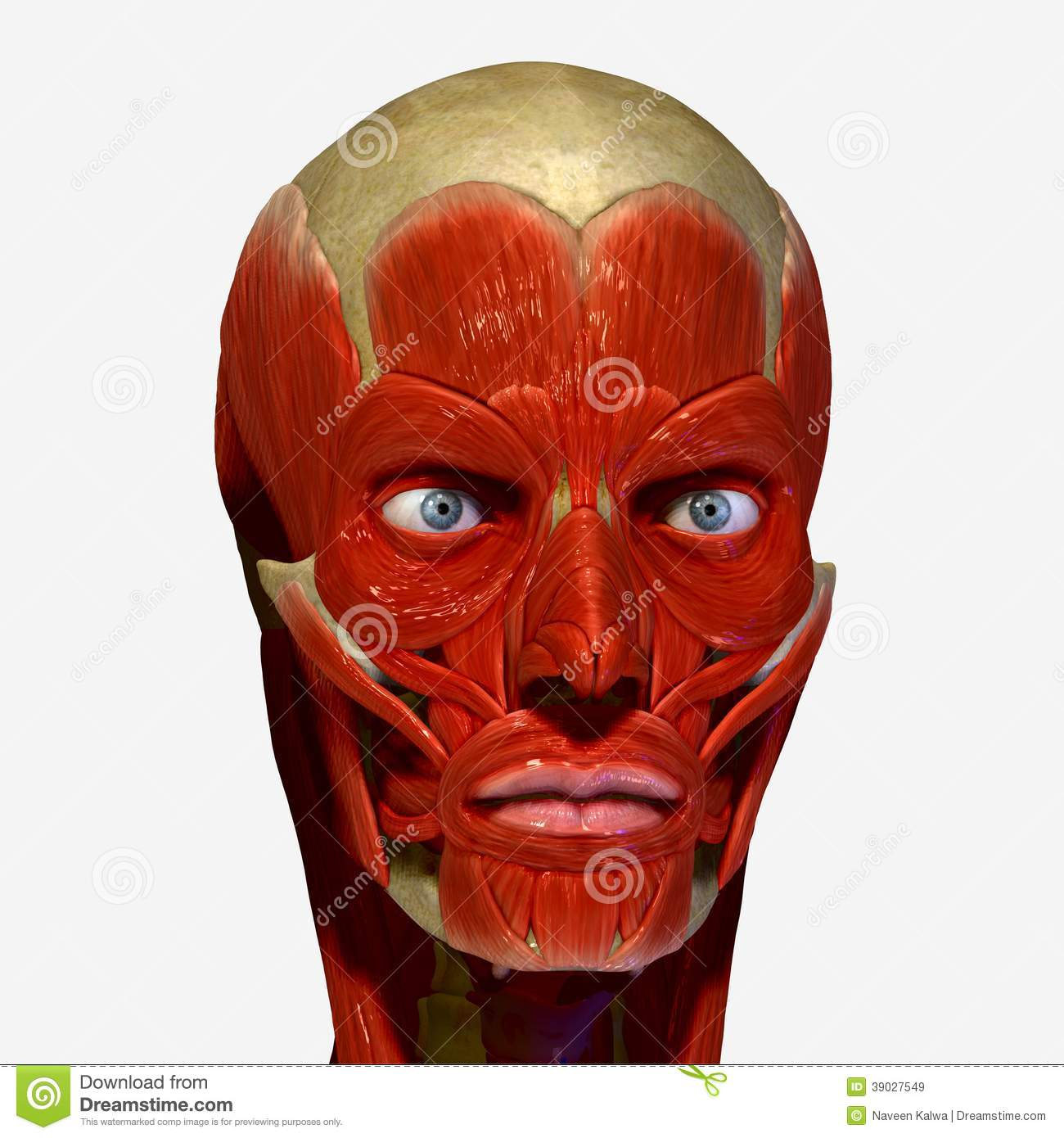 Facial muscles stock illustration. Illustration of facial - 39027549