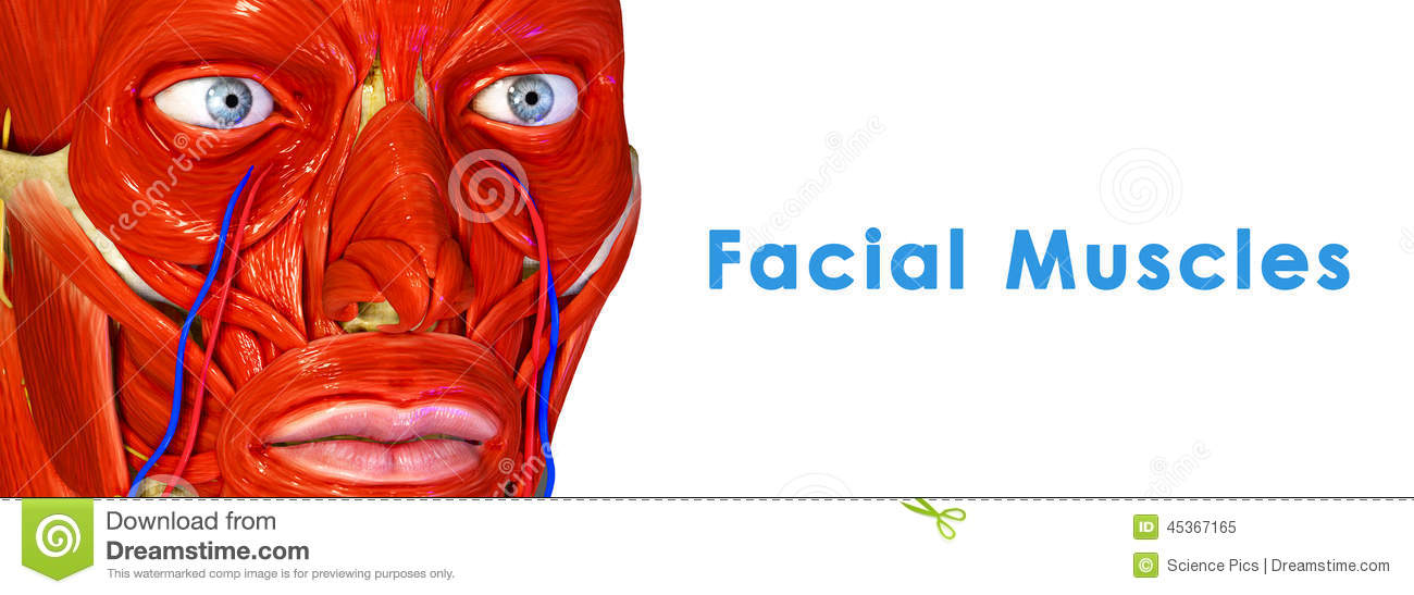 Facial muscle groups