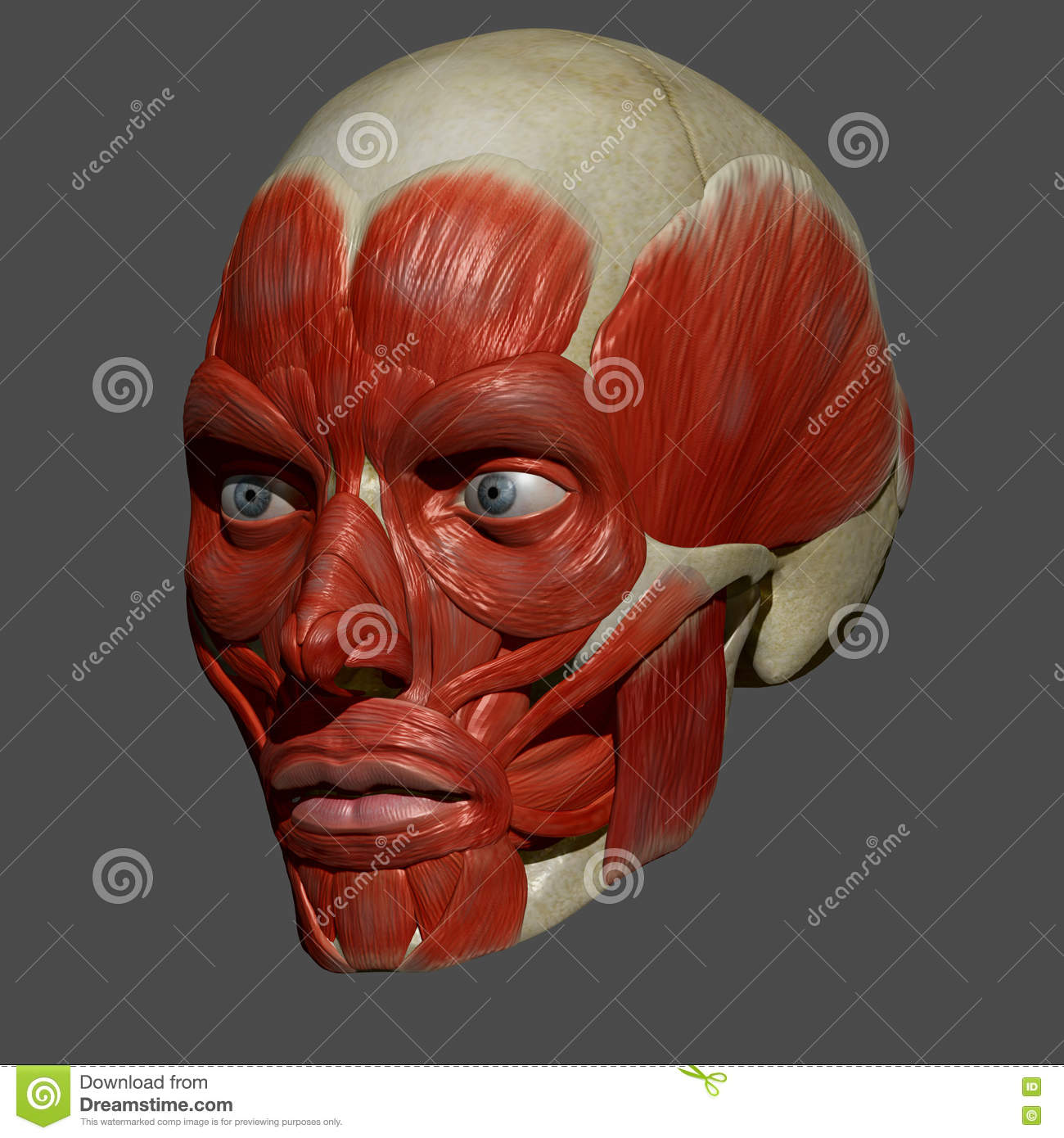 Facial Muscles stock illustration. Illustration of person - 56141232