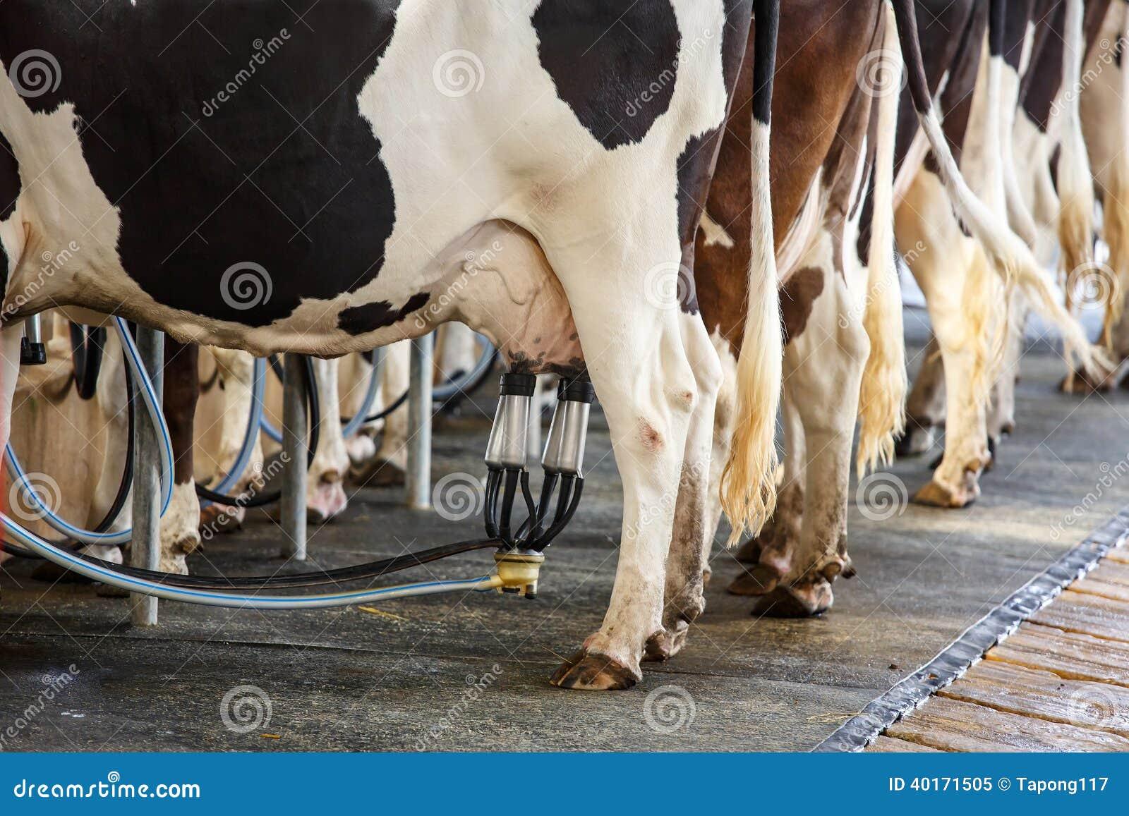 Facilidade de ordenha da vaca