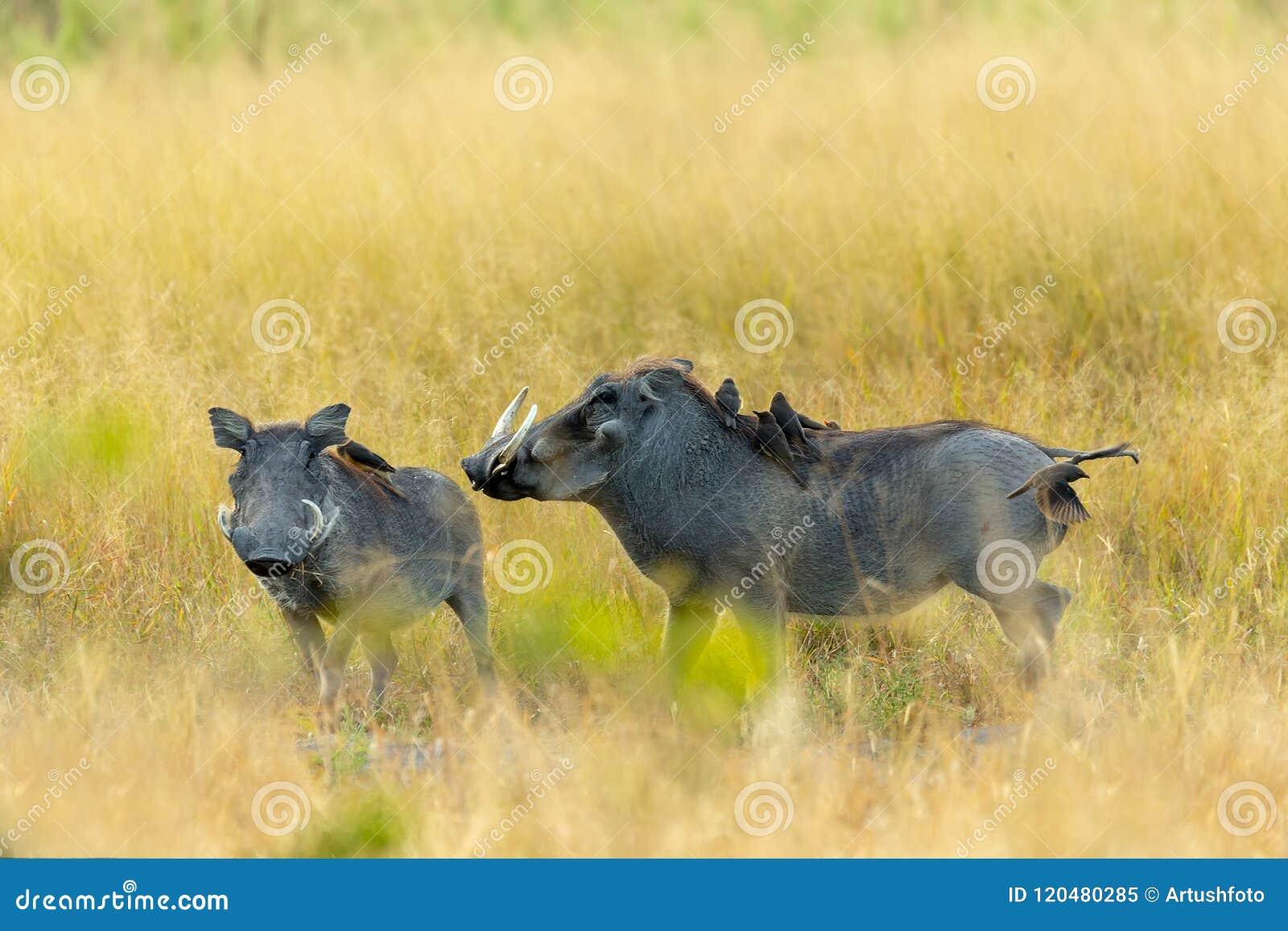 Facocero nella riserva di Moremi, fauna selvatica di safari del Botswana