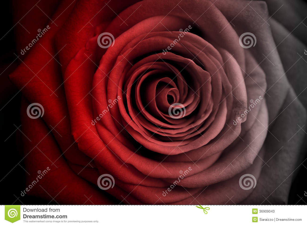 Faded red rose stock photos image 36909043 for How to dye roses black