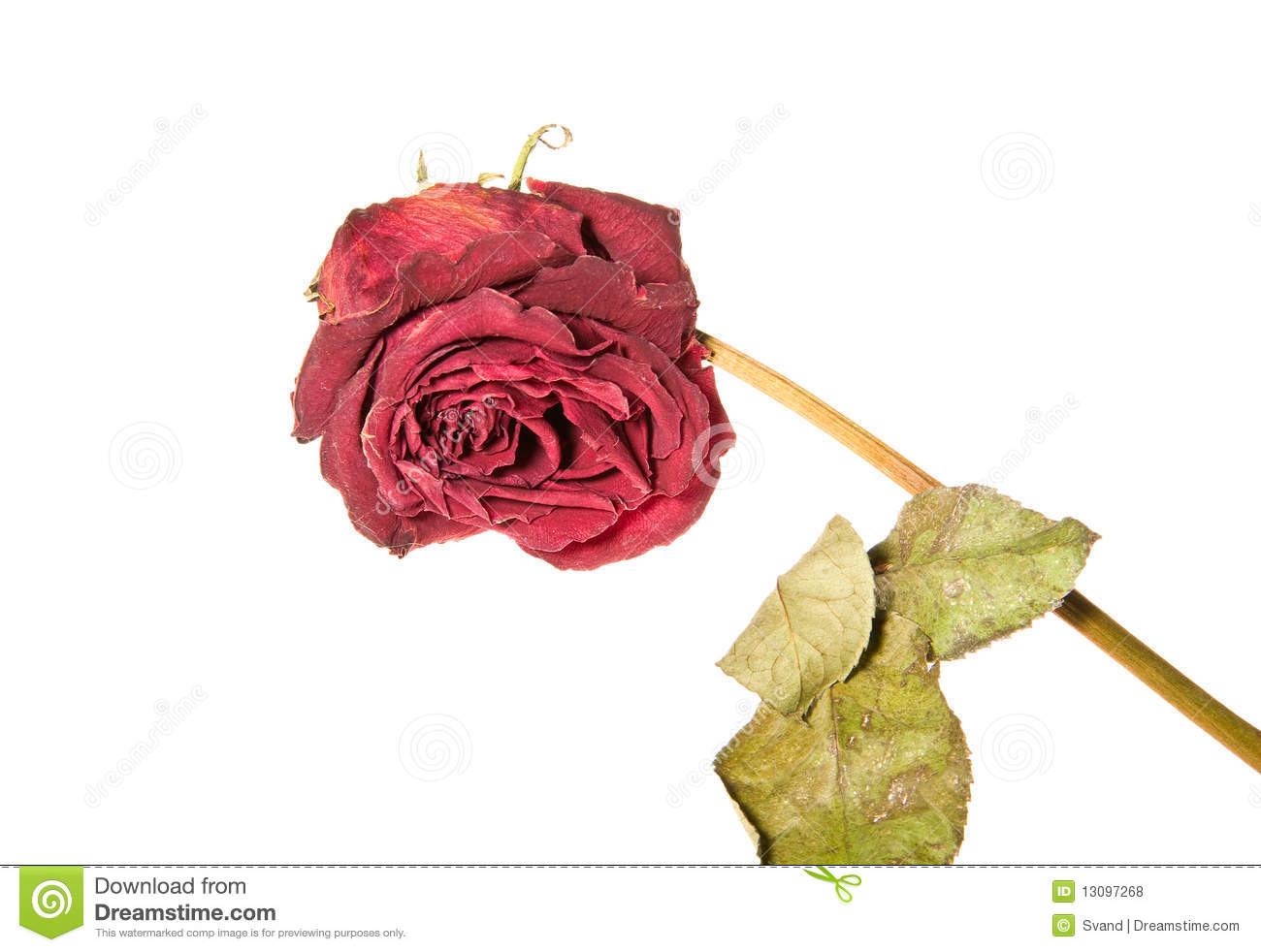 Faded Rose Isolated On White Stock Photo Image Of Elegant Green