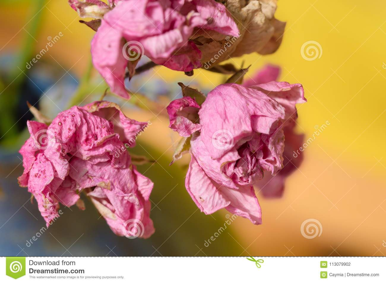 Fading Blooms Of Polyantha Rose Pink Flowers The Fairy Stock