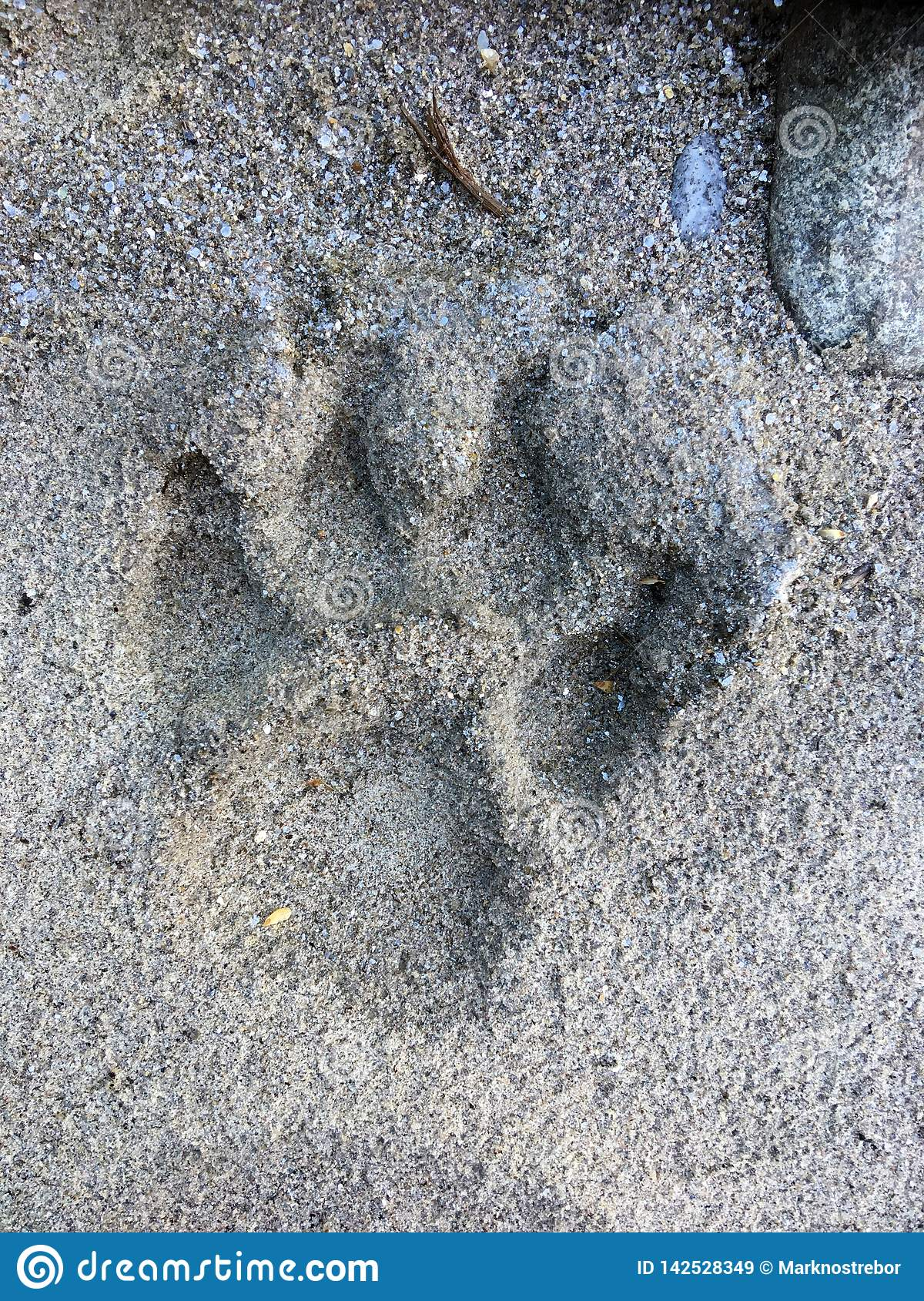 Fading Wolf paw print in sand of Canoe River, British Columbia, Canada.