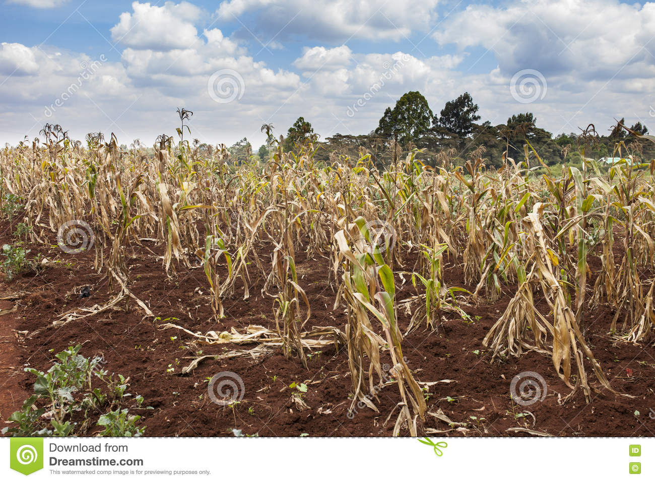 Failing crops in Kenya