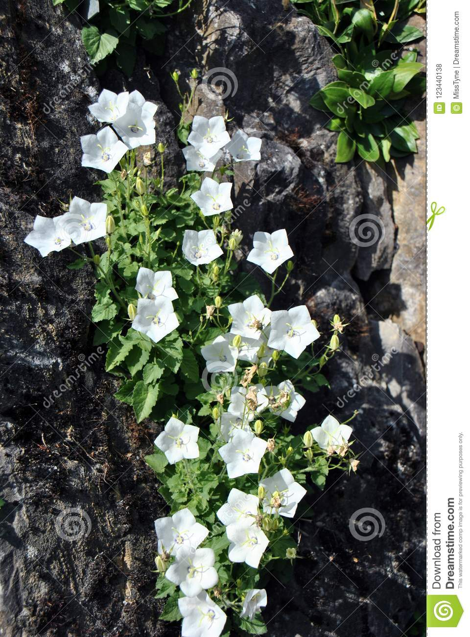 Fairy bellflower plant growing on the side of a rock stock photo fairy bellflower plant with large bell shaped pure white flowers growing on the side of a rock mightylinksfo