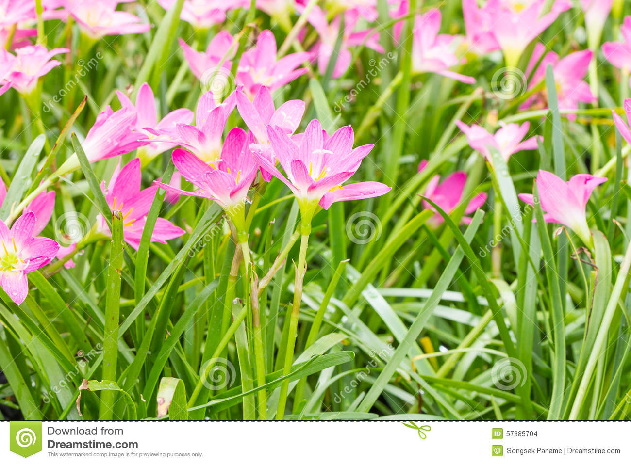 Fairy Lily Flower In Garden Stock Photo Image Of Flower Earth