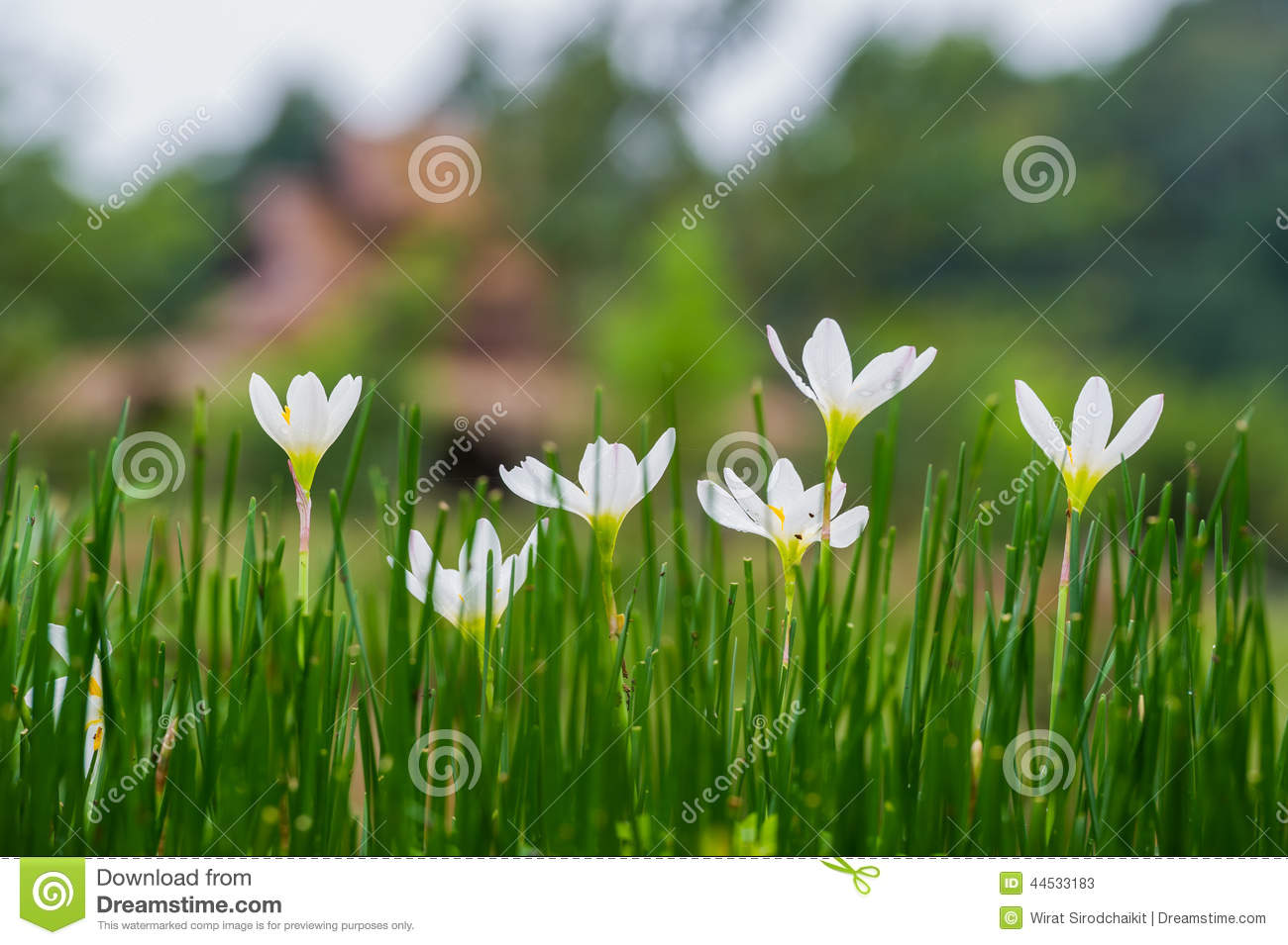 Fairy Lily Flowers In The Flower Garden Stock Image Image Of
