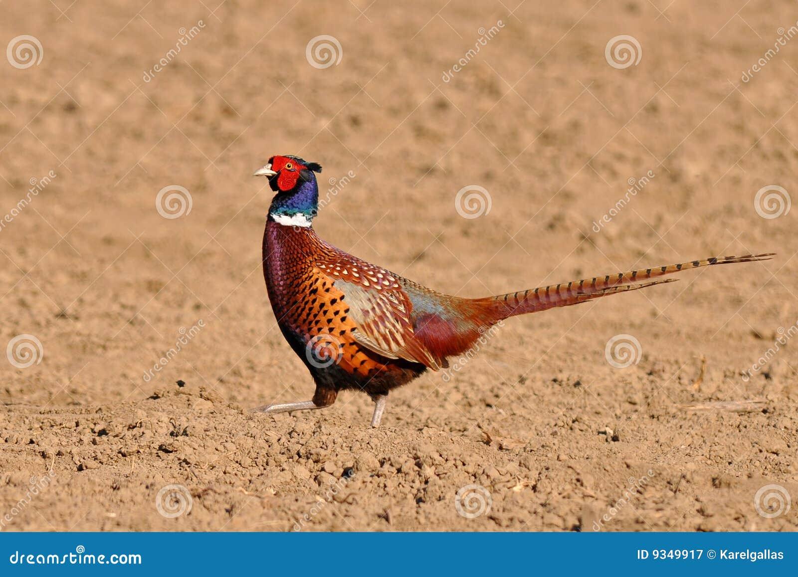 Faisan commun photographie stock libre de droits image for Oiseau commun