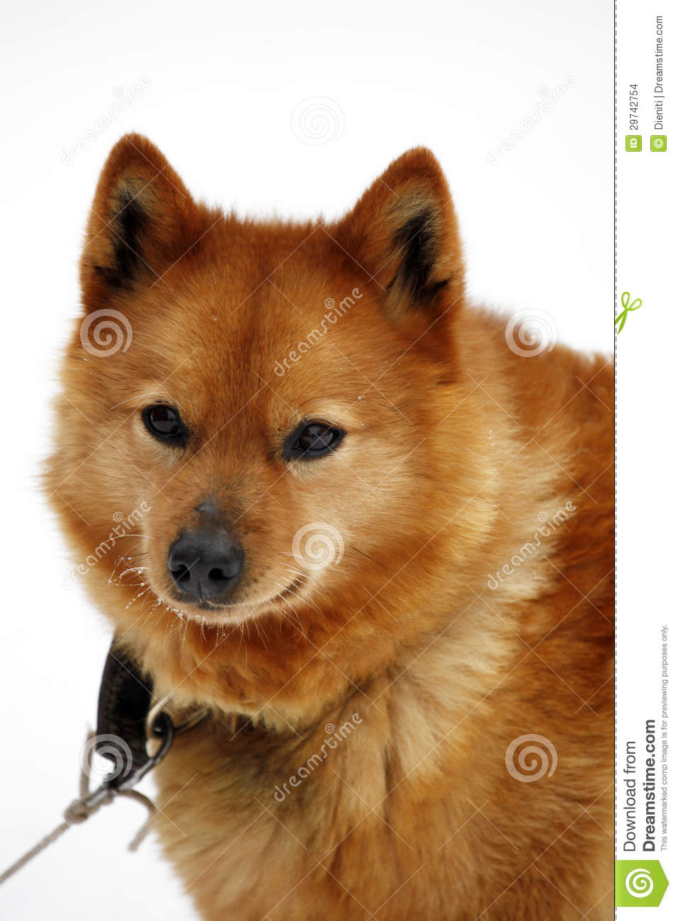 Brown Finnish Spitz Dog / Canis Lupus Familiaris Stock ...