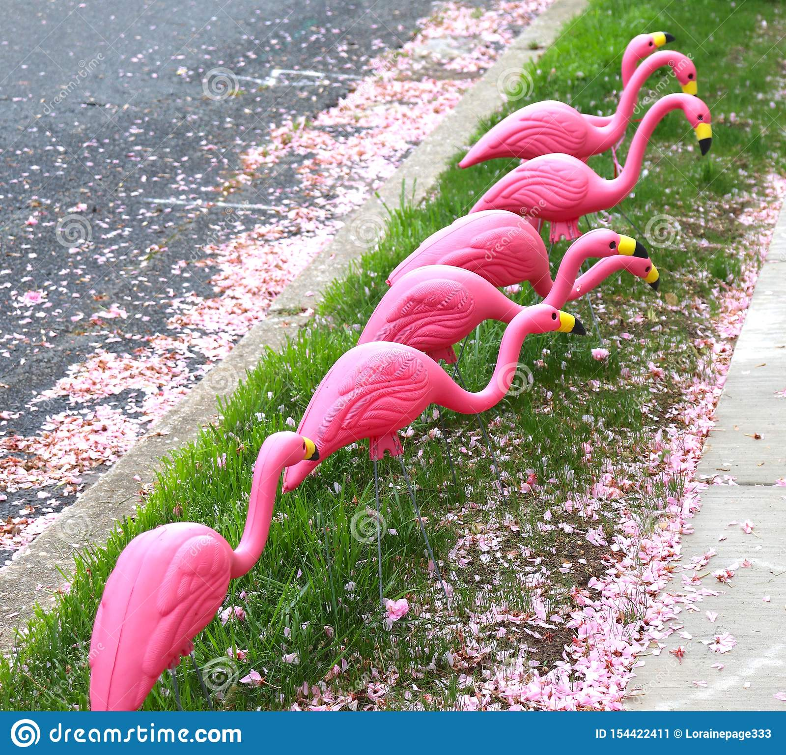 Flamingos Pink and Plastic Looking For Food at the Curb