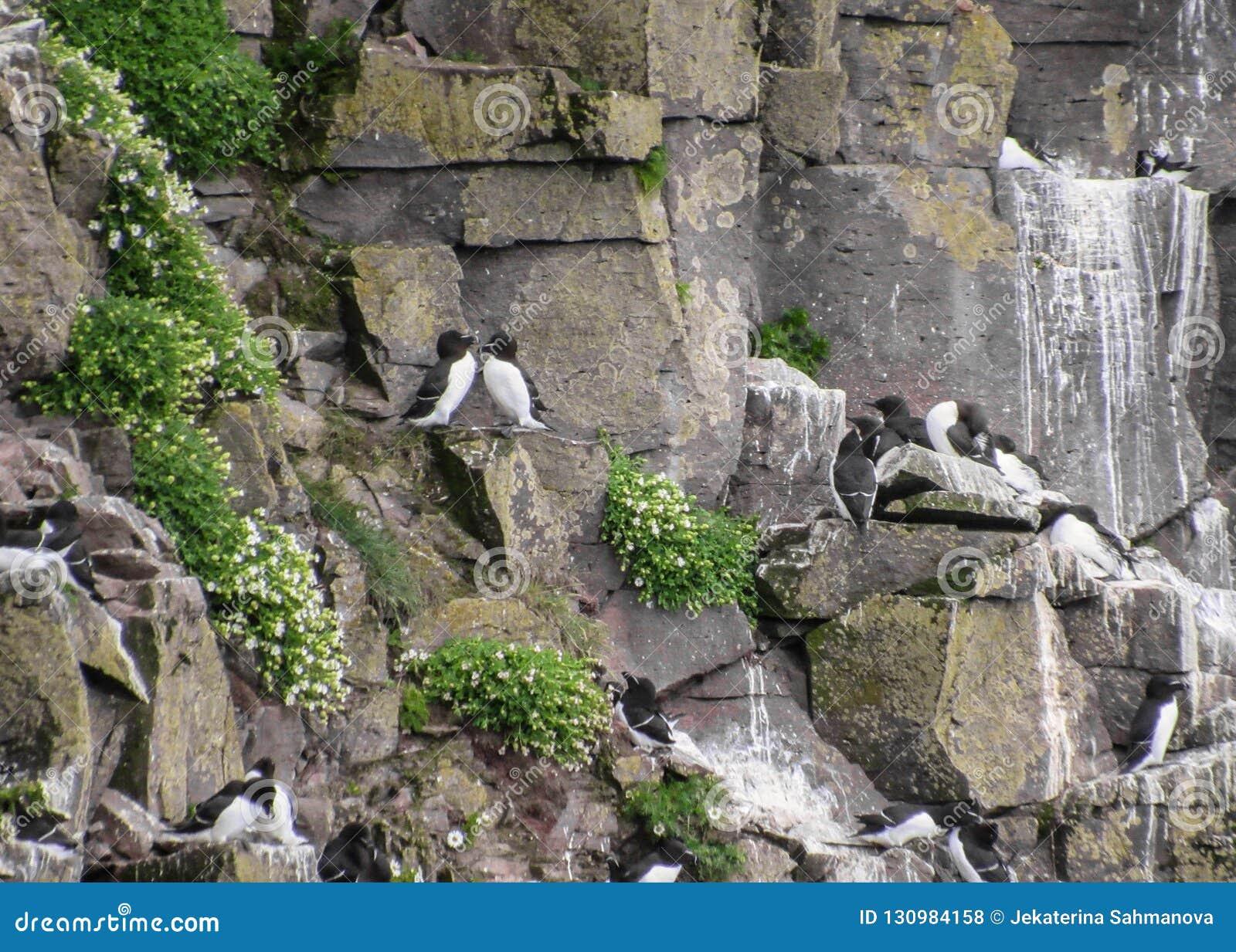 Falaises d oiseau au trabjarg de ¡ de LÃ, Westfjords de l Islande