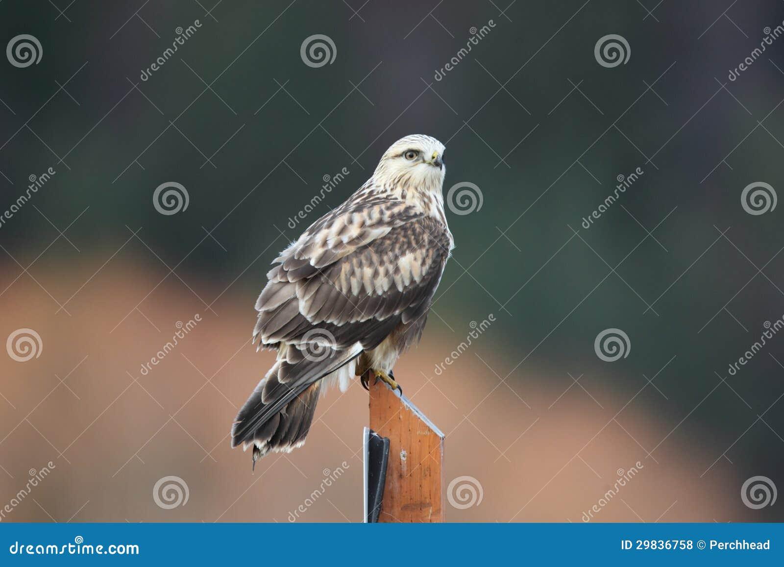 Falcão equipado com pernas áspero