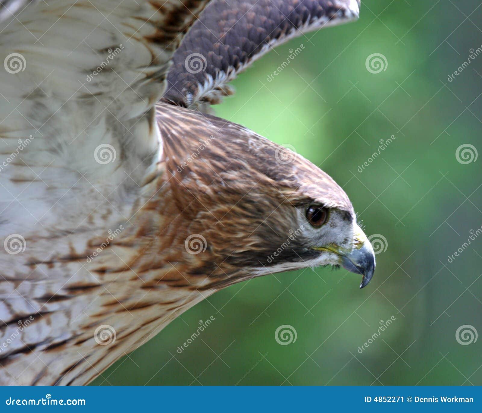 Falcão vermelho da cauda