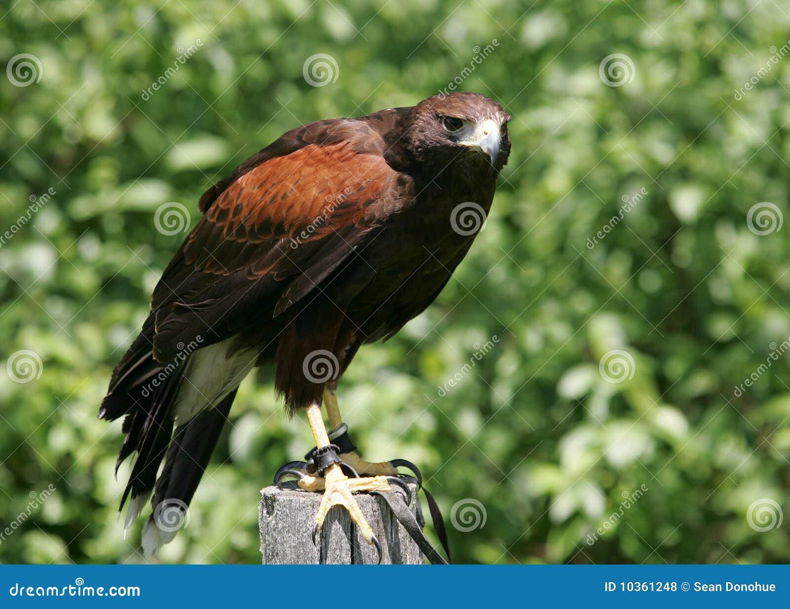 Falco 2