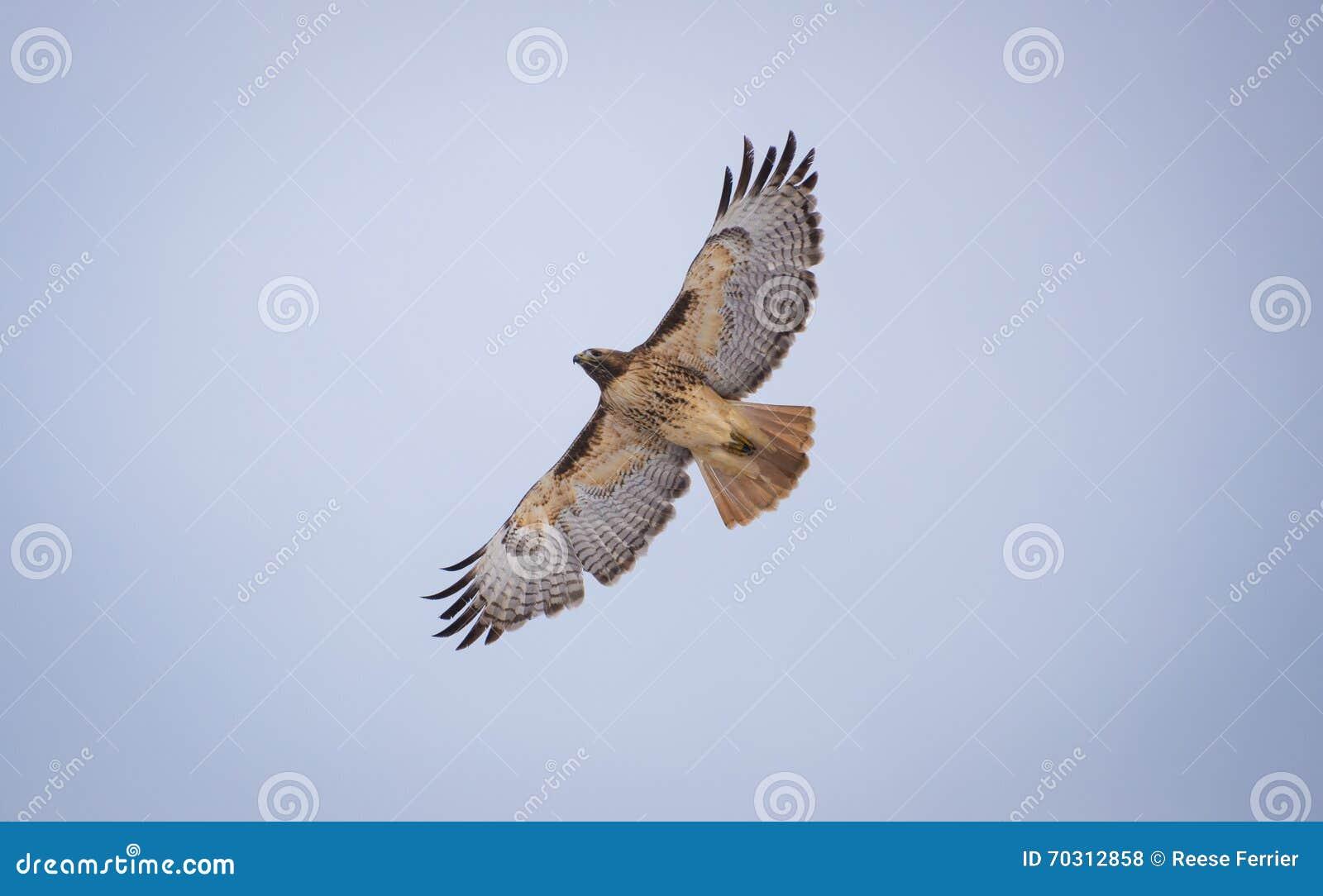 Falco in ascesa