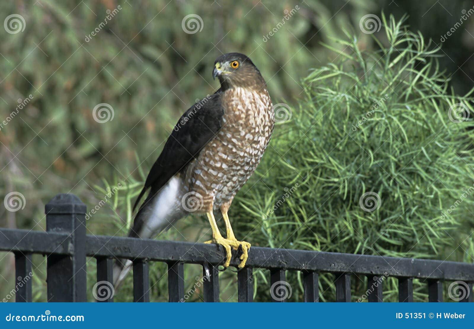Falco in cortile