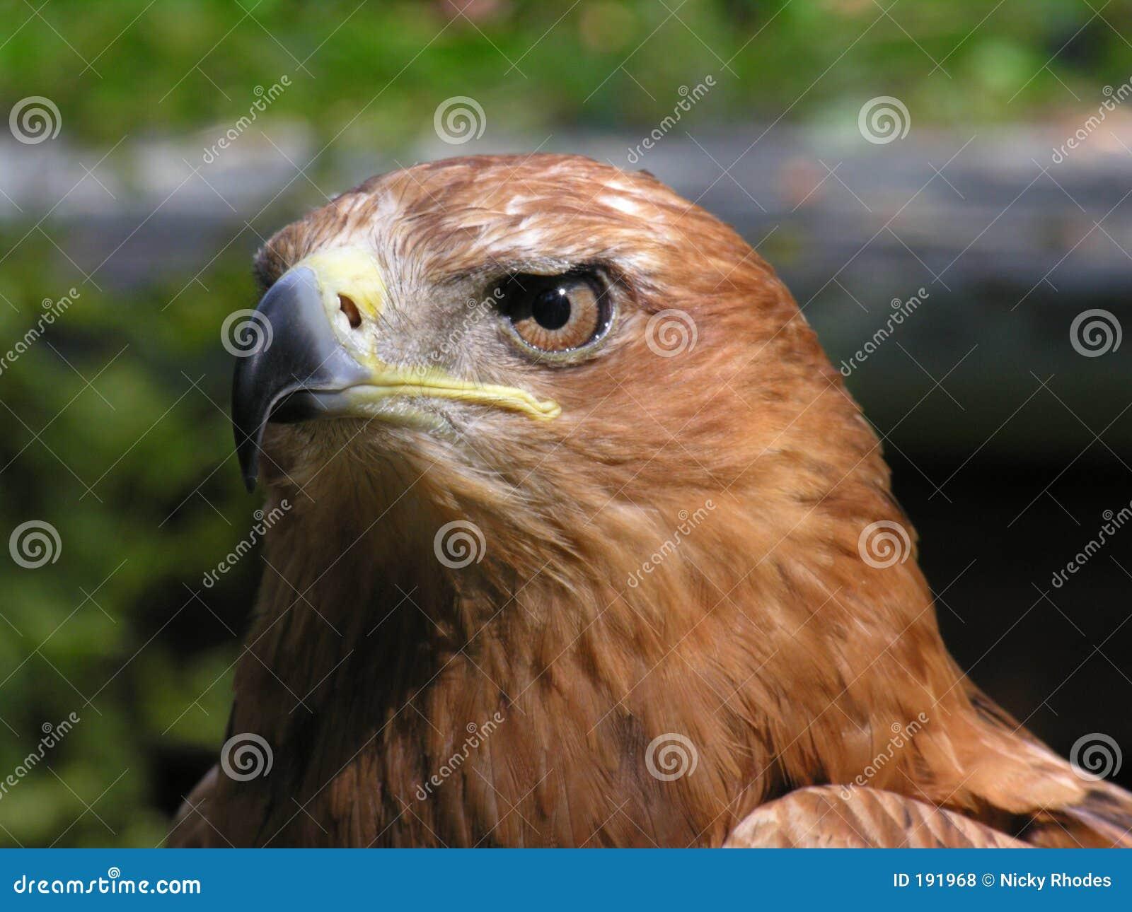 Falco del Harris