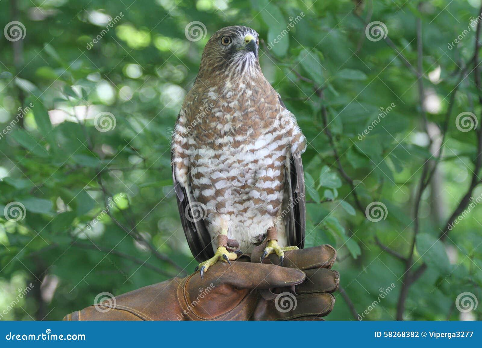 Falco dell Vasto-ala a disposizione