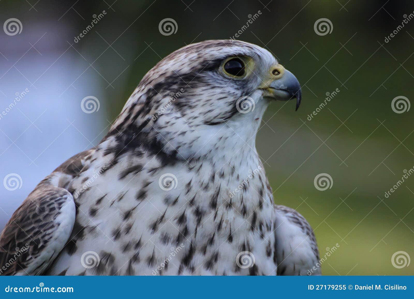 Falco di Saker