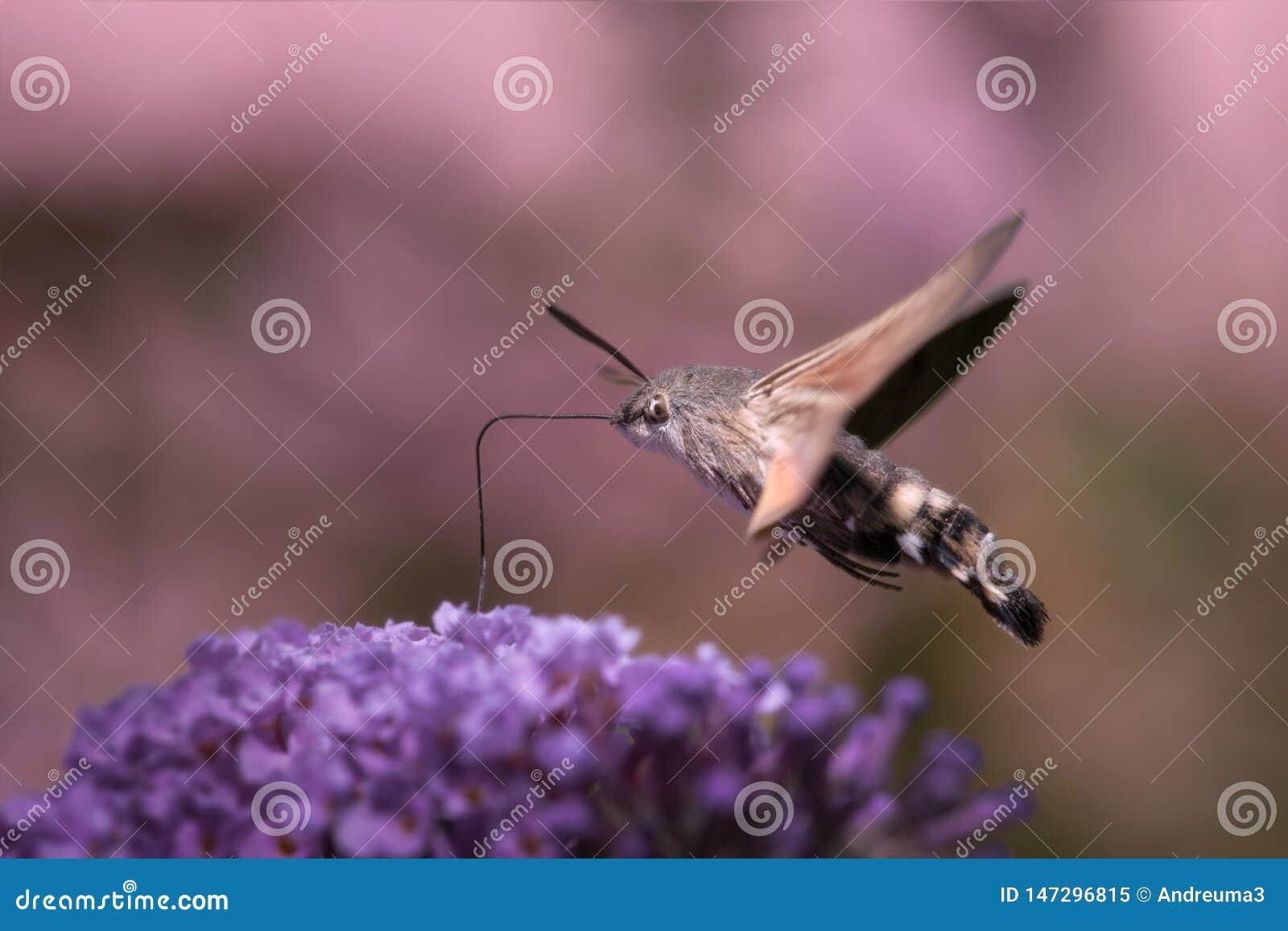 Falco-lepidottero del colibr?