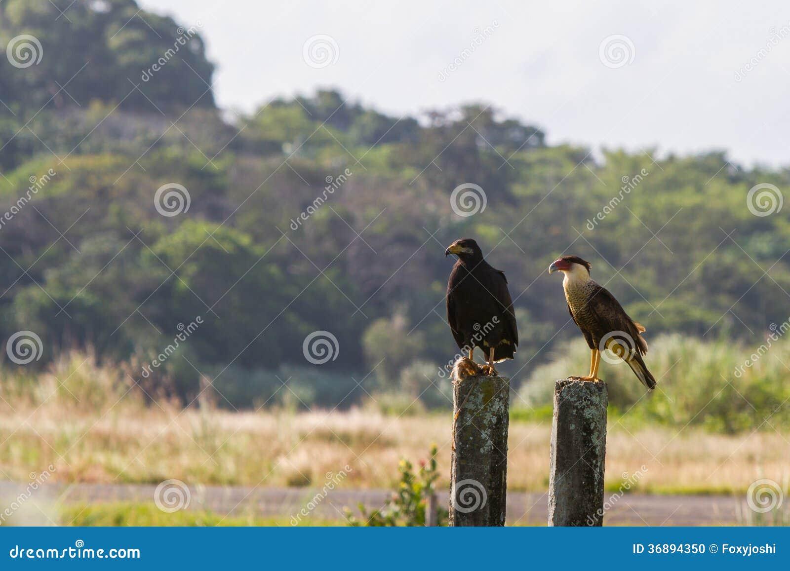 Download Falco Nero & Caracara Crestato Fotografia Stock - Immagine di hawk, sherman: 36894350