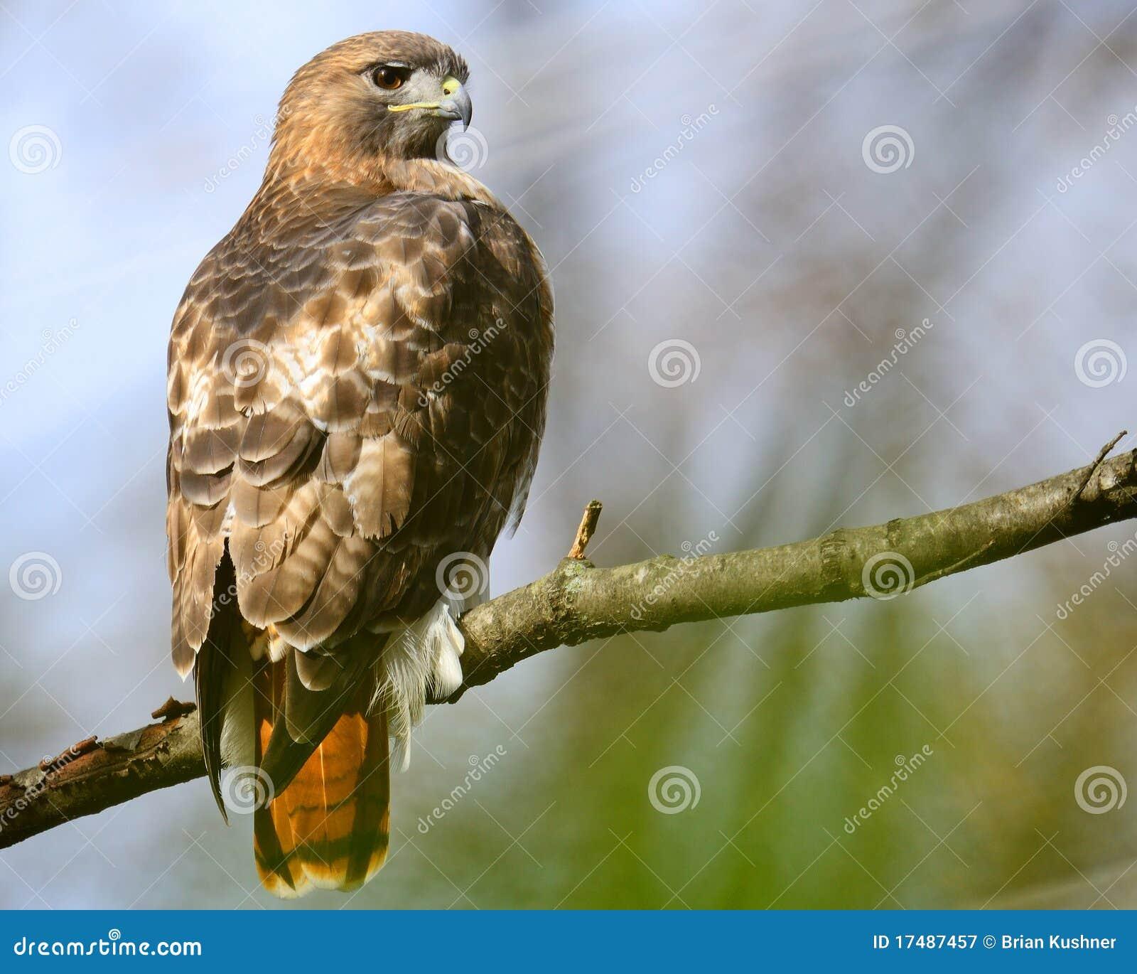 Falco Rosso-Munito