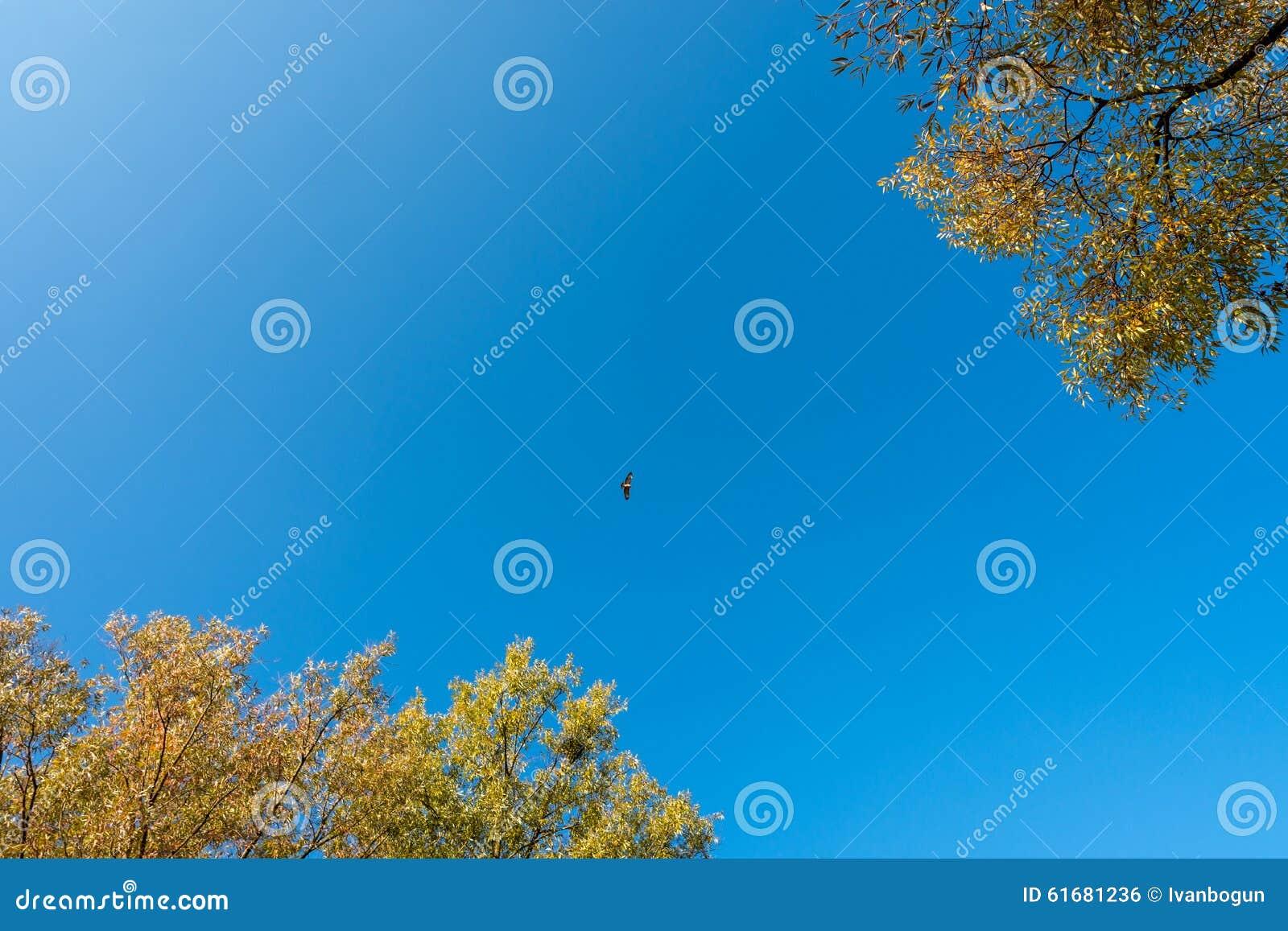 Falcon Fly Stock Photo - Image: 61681236