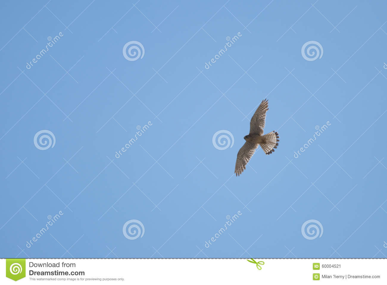 Falcon Stock Photo - Image: 60004521