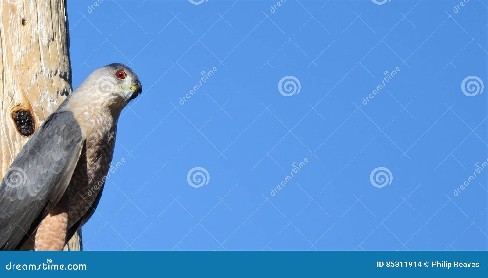 A Falcon Looking At The Camera Stock Photo