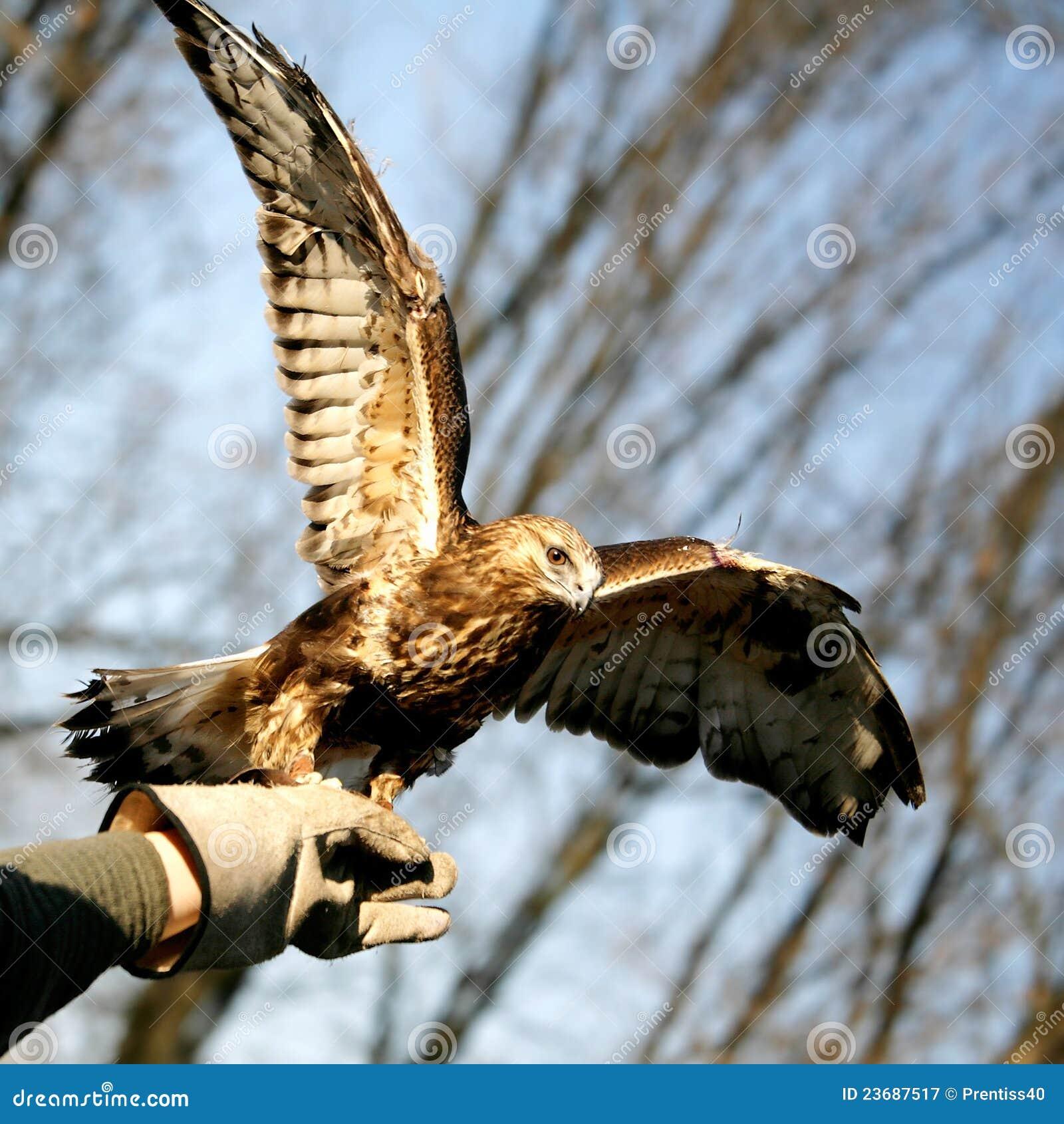 Falcon on master hand
