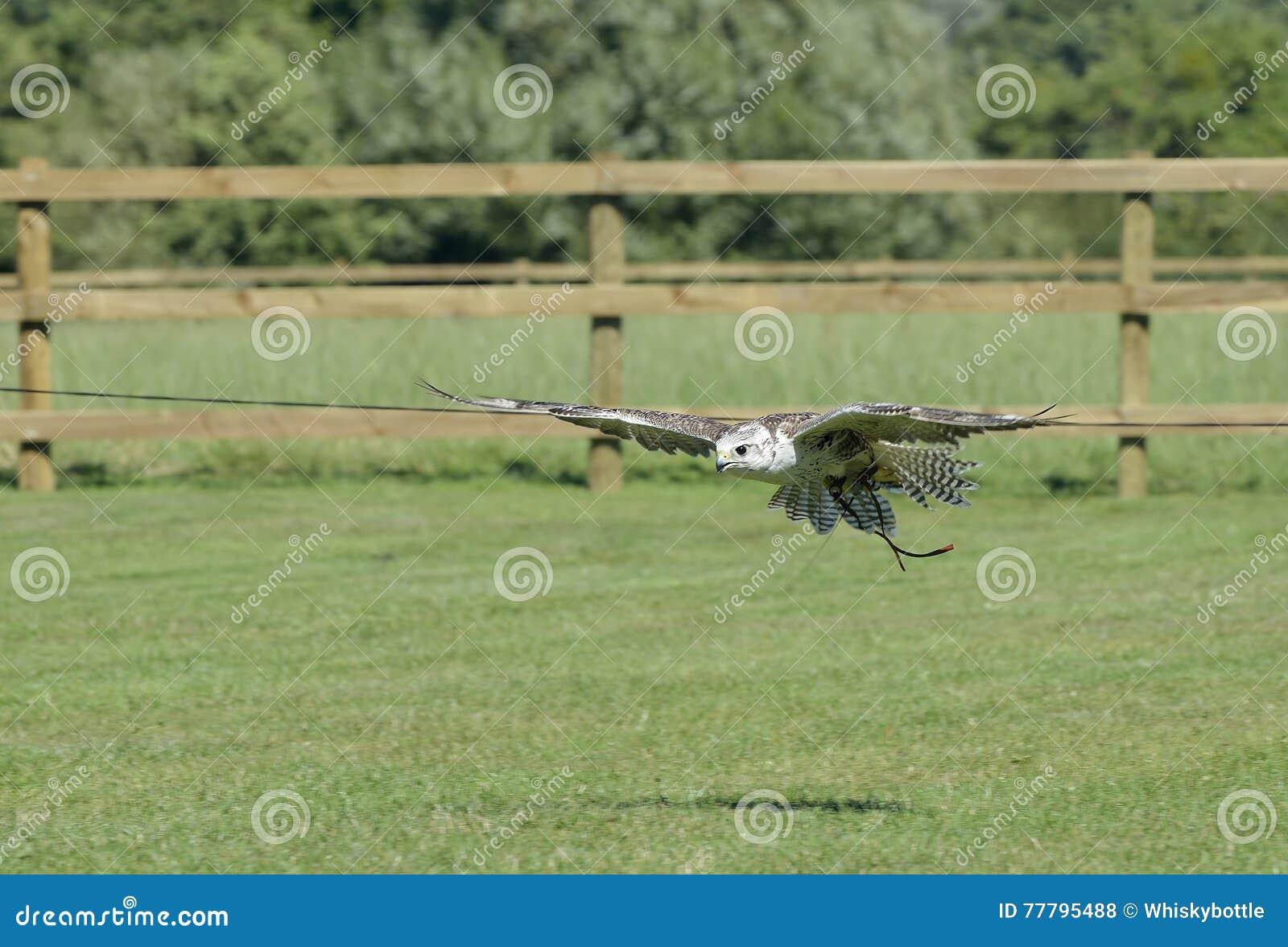 Falconer& hybride x27 ; faucon de s