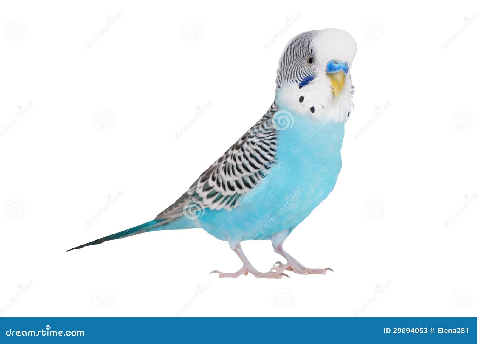 Falista papuga