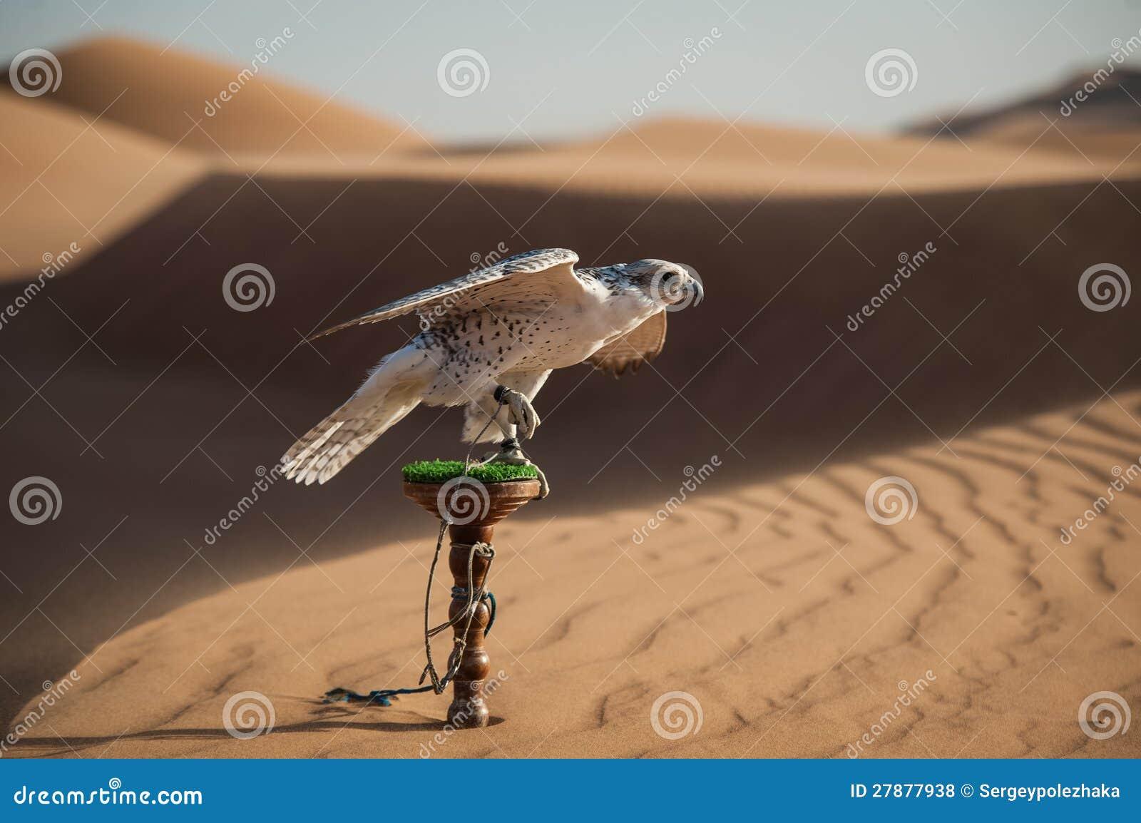Falk i öken
