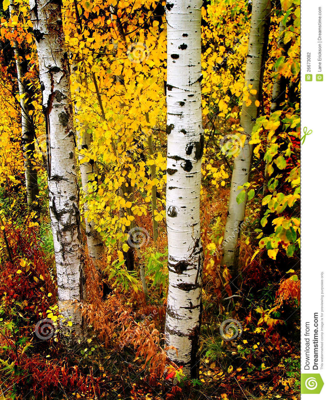 Detail of several aspen birch trees with golden yellow leaves.