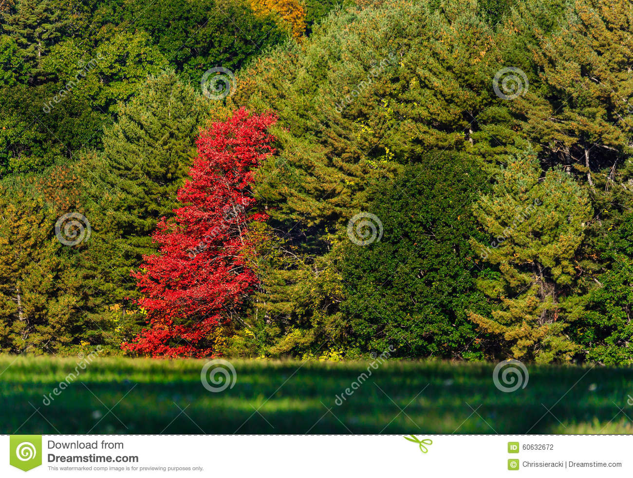 Fall Autumn Red Tree Leaves Stock Photo - Image of lone, pine: 60632672