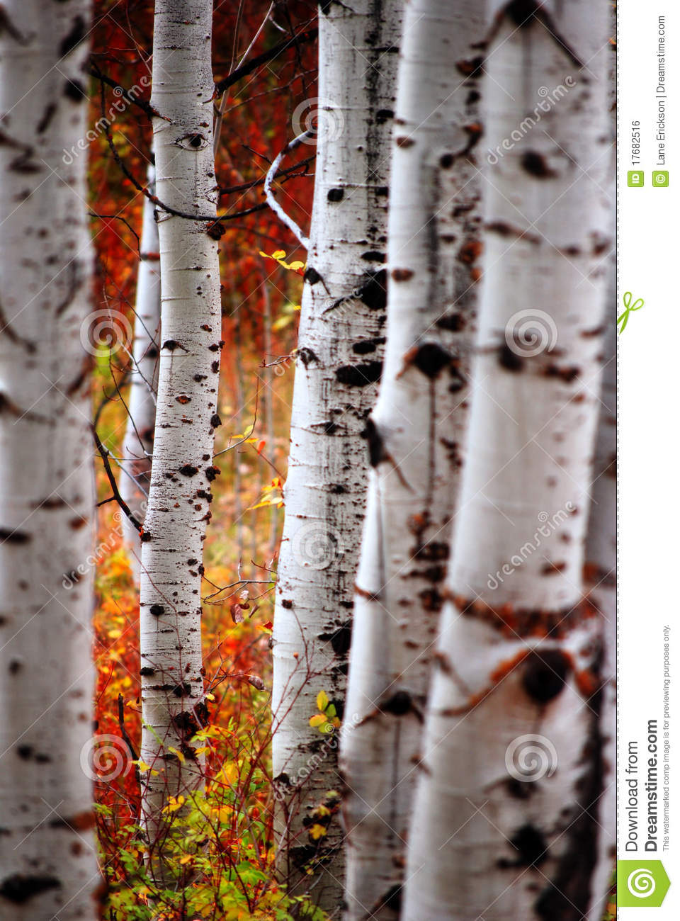 fall birch leaves stock photo image of fall autumn