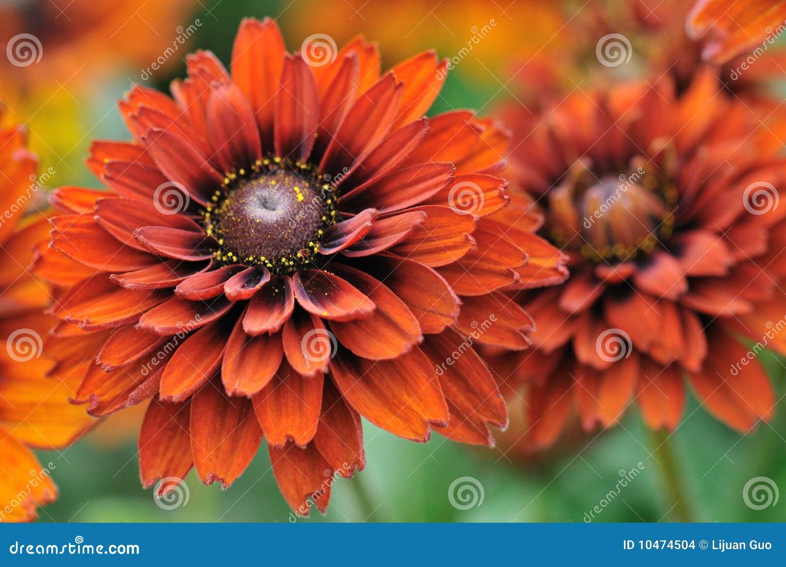 Fall Color Rudbeckia Flowers Stock Photo Image Of Dark Yellow 10474504