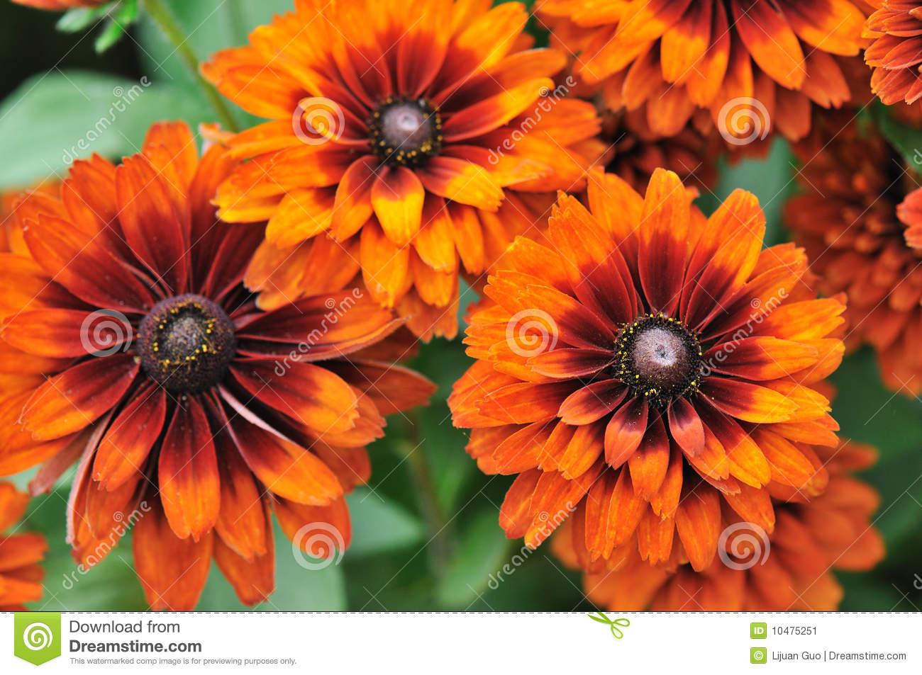 Fall Color, Rudbeckia Flowers Stock Image - Image of flower ...