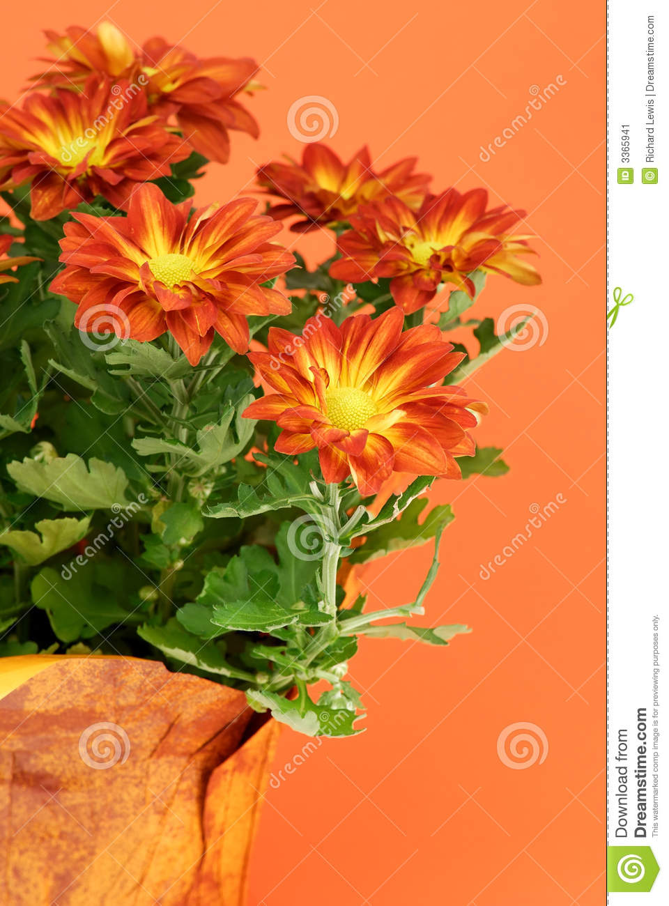 Fall Flowers Stock Image Image Of Fall Bloom Mums