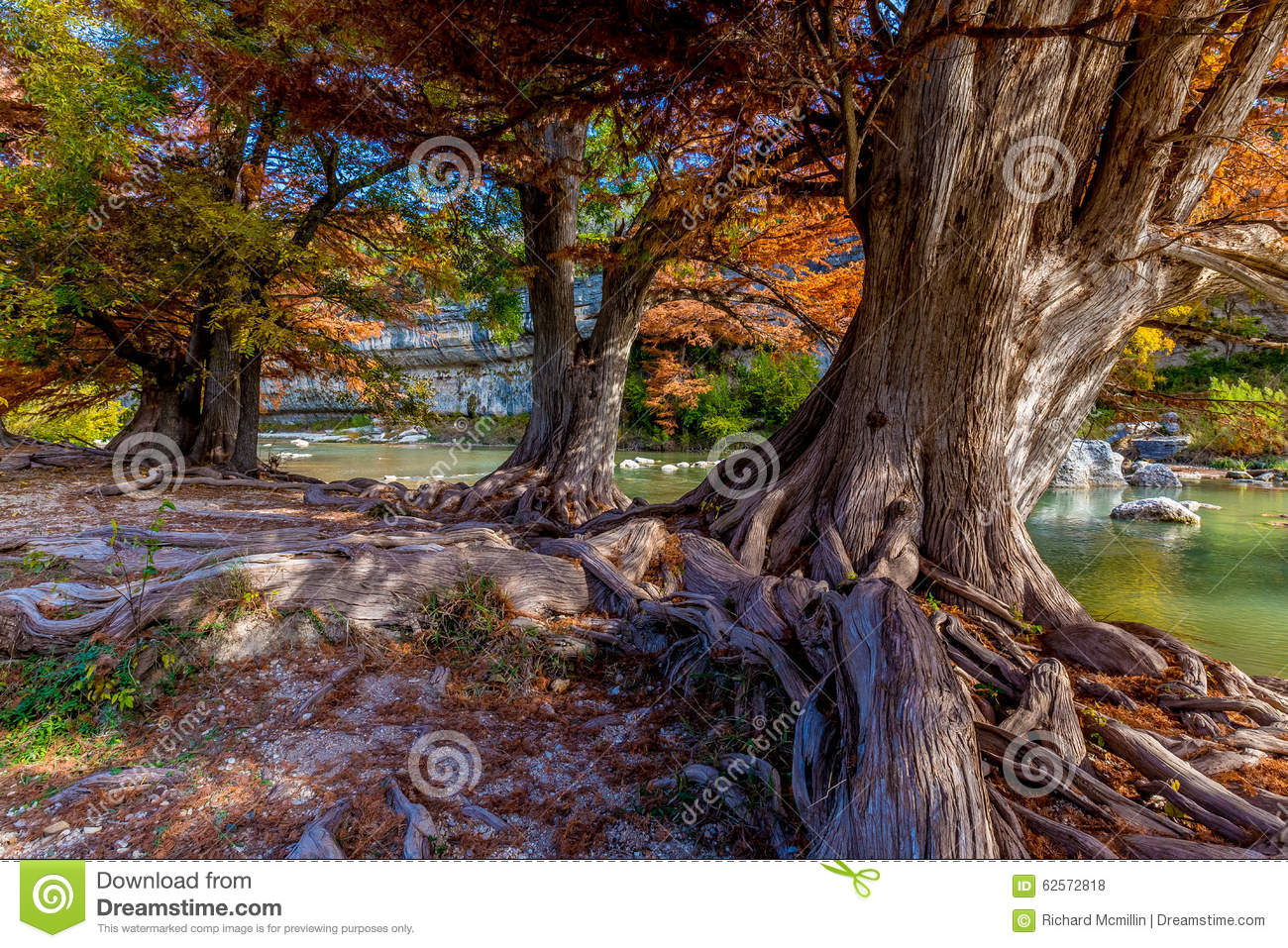 Fall Foliage on Ancient Cypress Trees at Guadalupe State Park, Texas