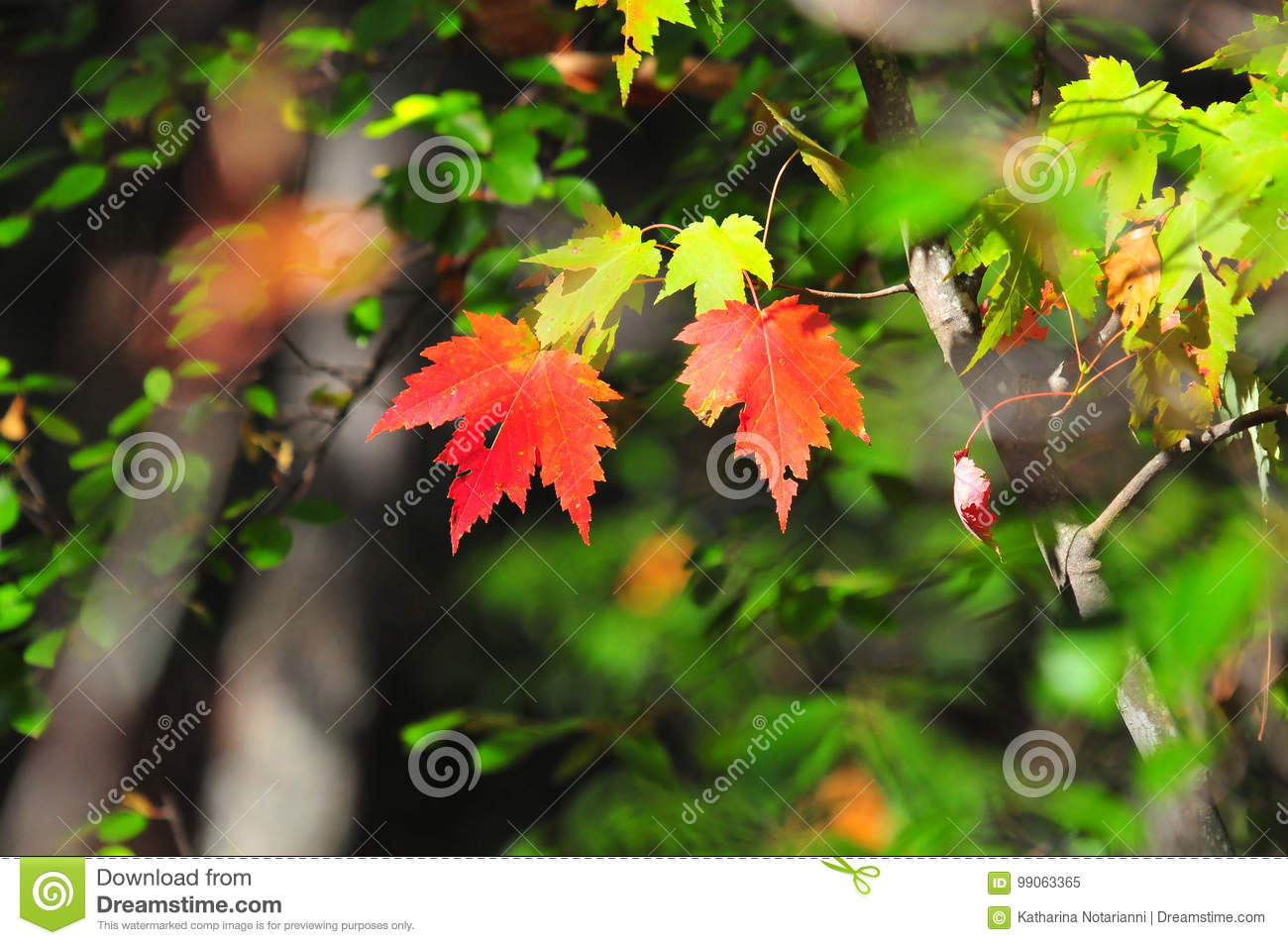 Fall Foliage Autumn Maple Leaves Close Up Background Stock Image ...