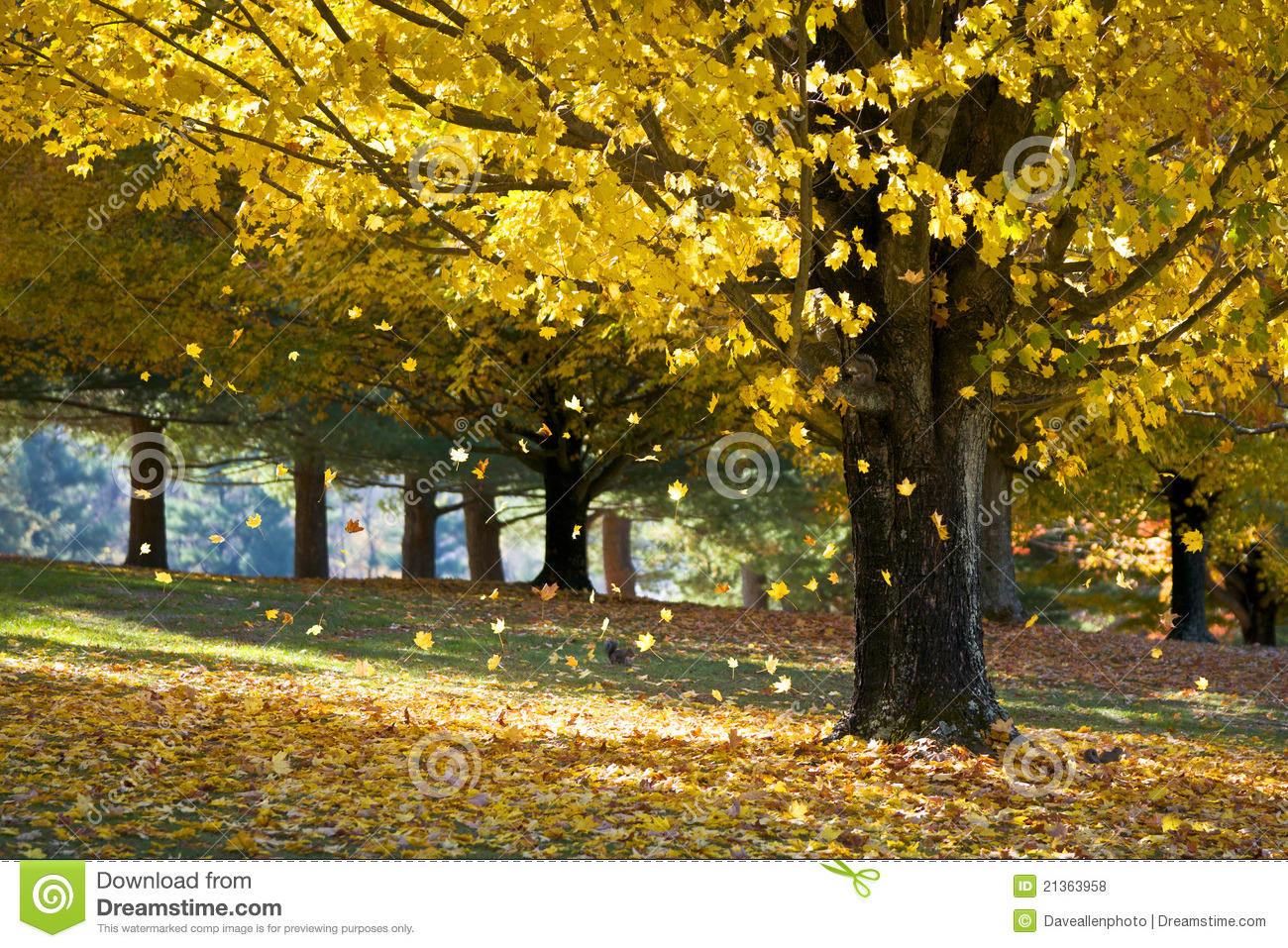 Download Fall Foliage Yellow Maple Leaves From Autumn Tree Stock Photo - Image of autumn, fine: 21363958