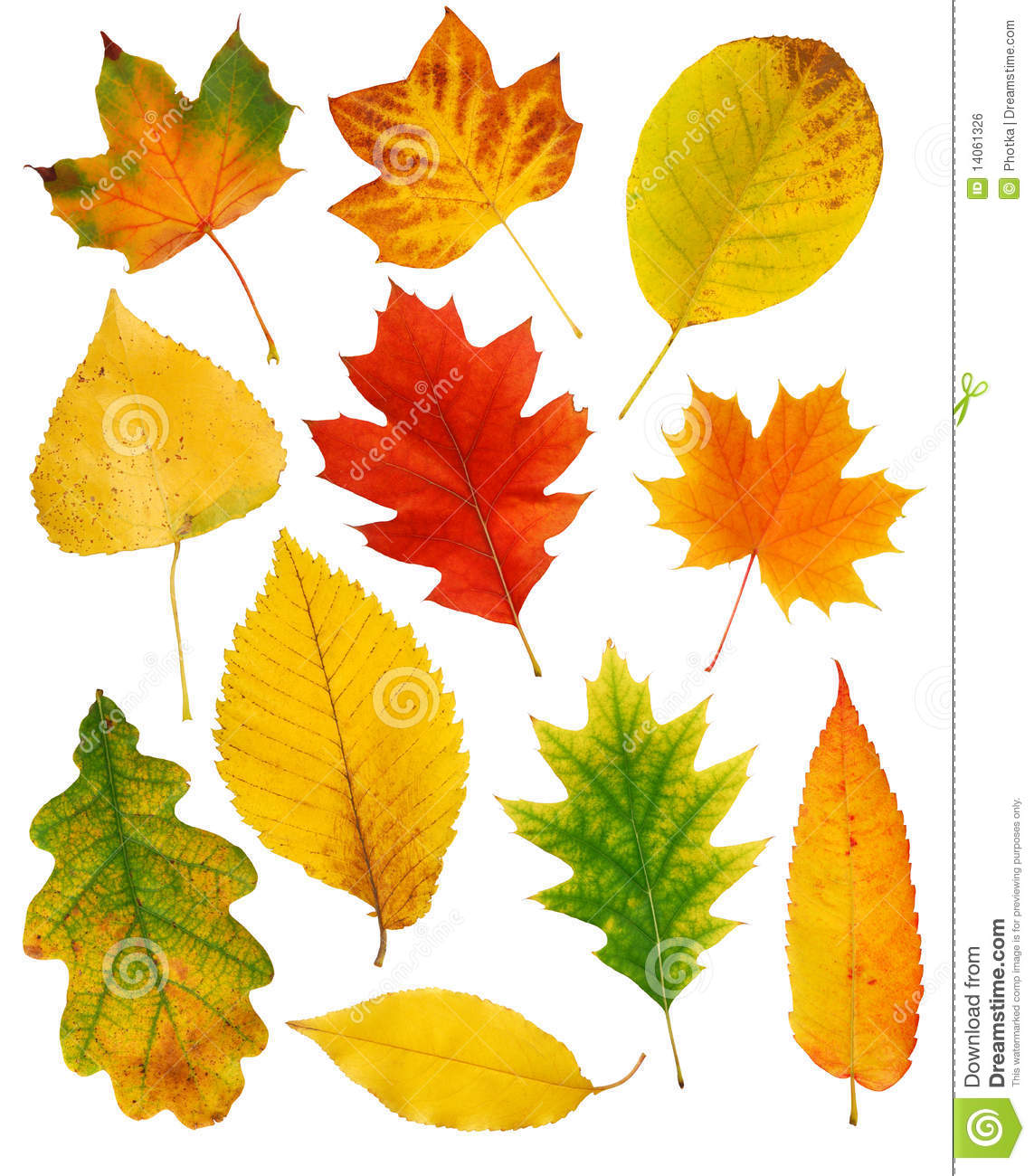 Oak Tree Drawing Fall Leaves Stock Photo Image Of Green Nature