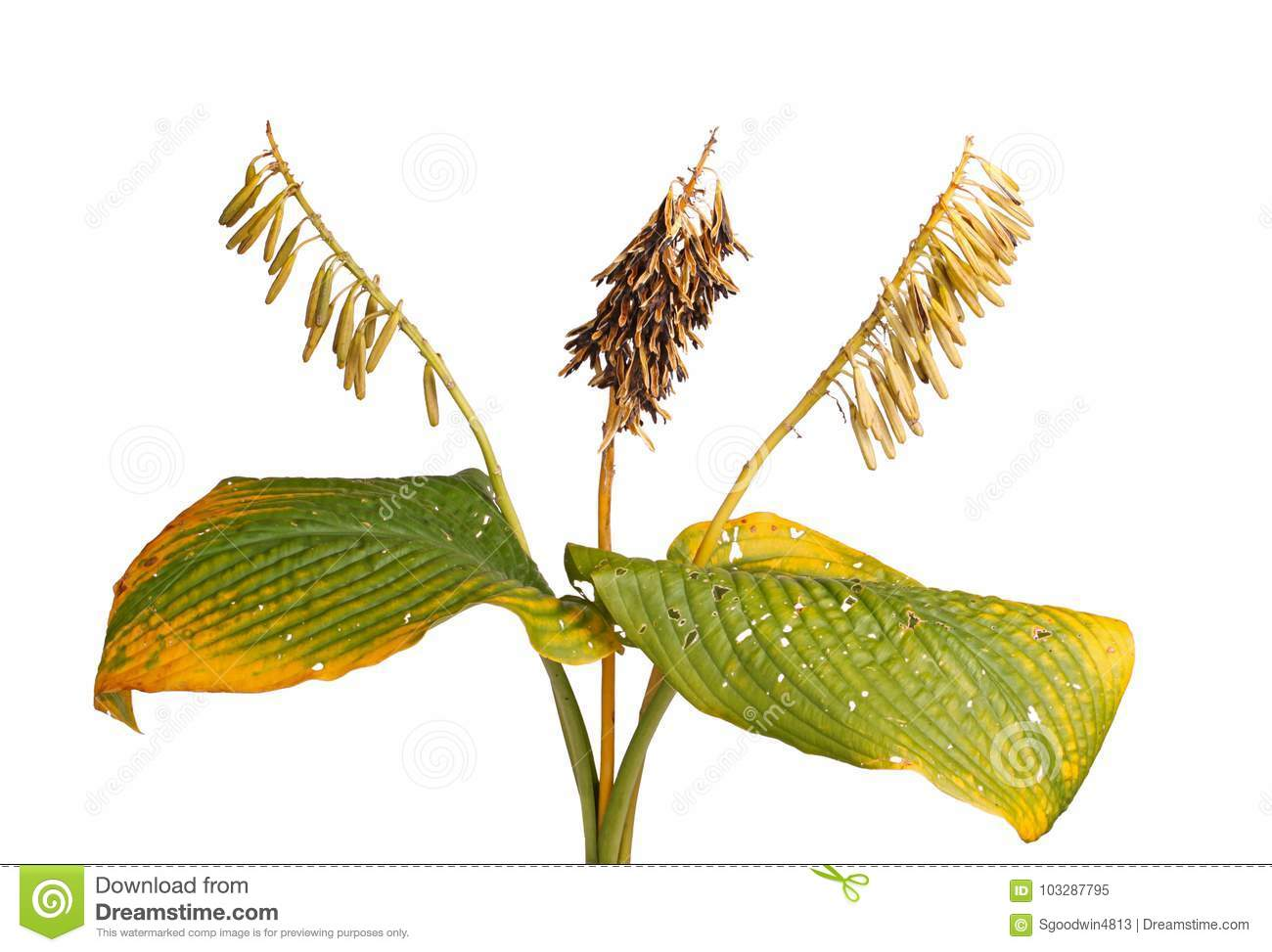 Fall Leaves And Dried Hosta Seed Pods Stock Image Image Of