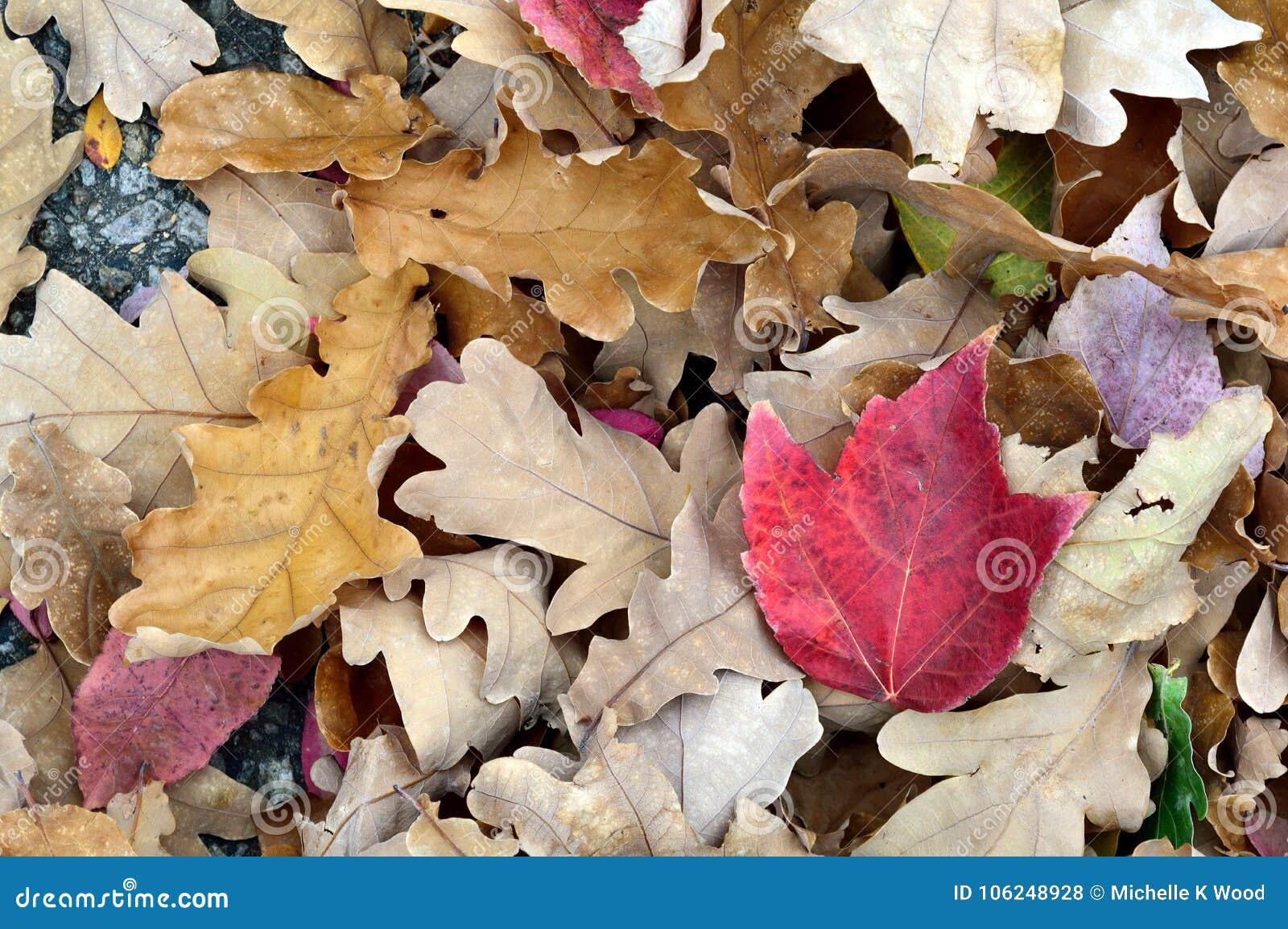Fall Leaves White Oak Red Maple