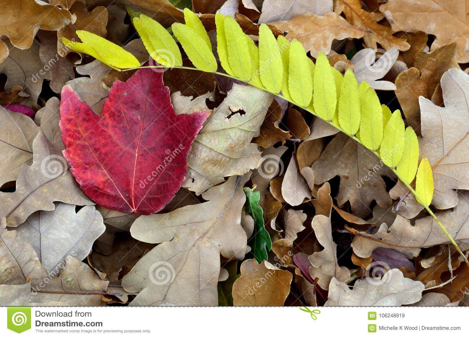 Fall Leaves White Oak Red Maple Locust