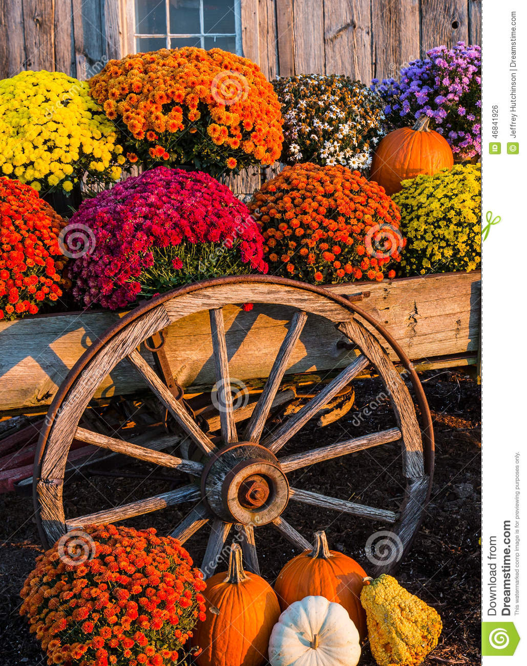 Fall scene with colorful mums and pumpkins in old wagon against a barn